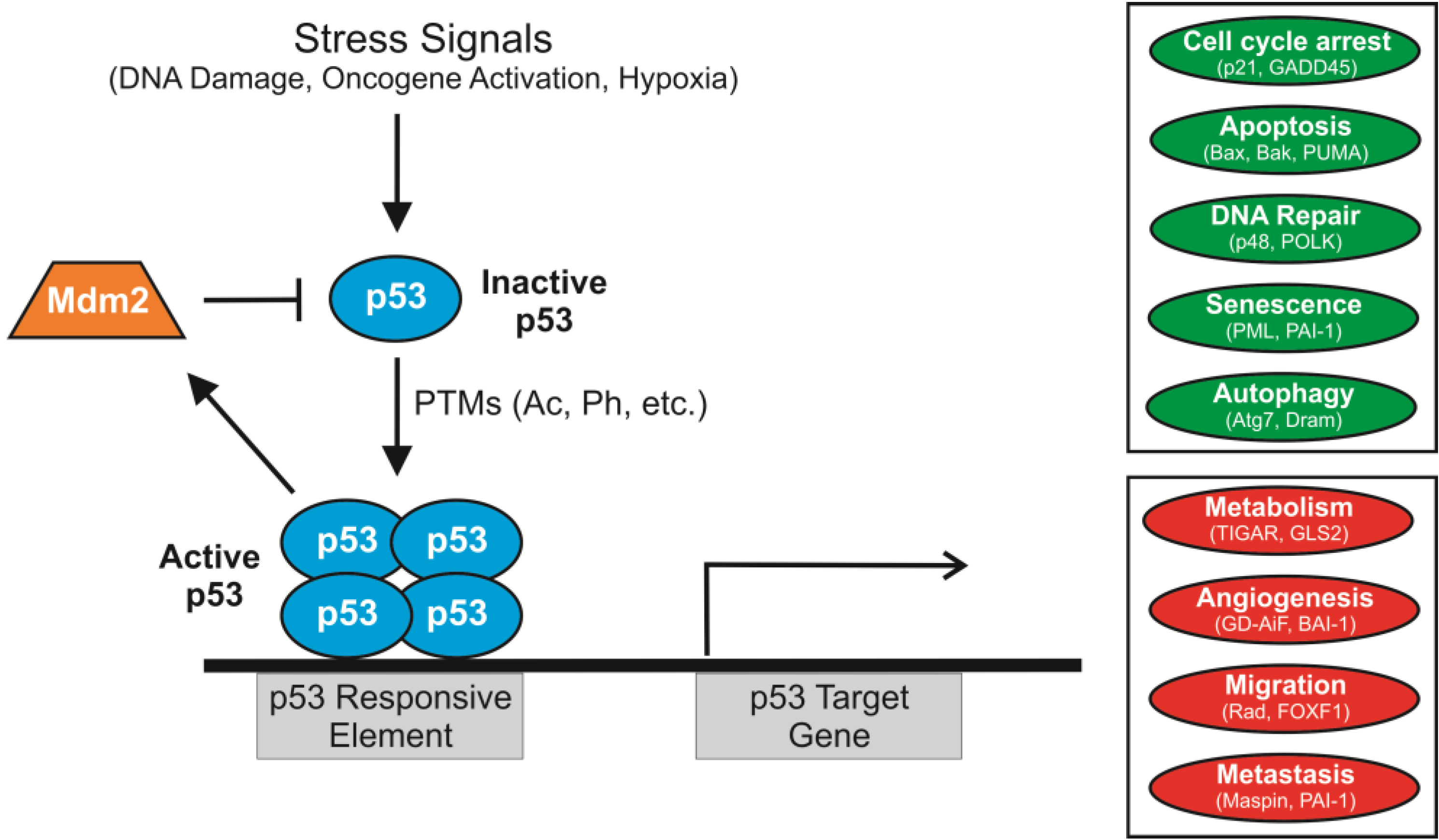 The impact of acetylation and deacetylation on the p53 pathway