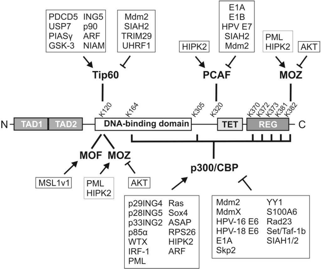 Effect of etomoxiryl-CoA on different carnitine acyltransferases
