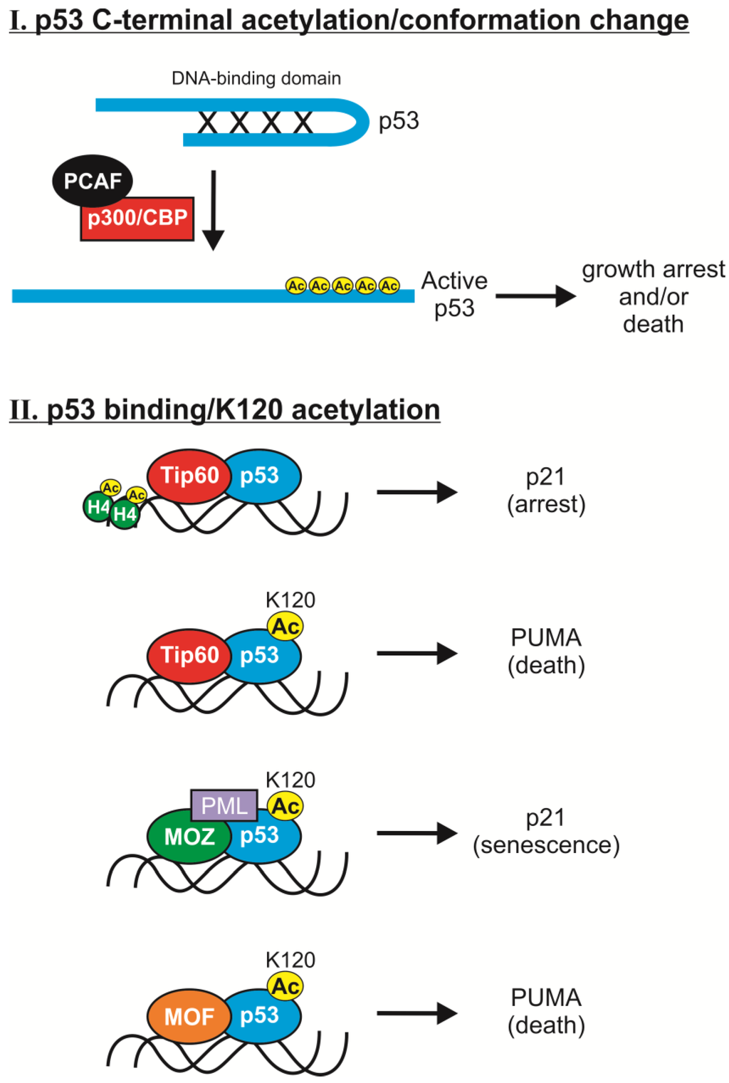 Transcriptional Regulation by P53 - PubMed Central (PMC)