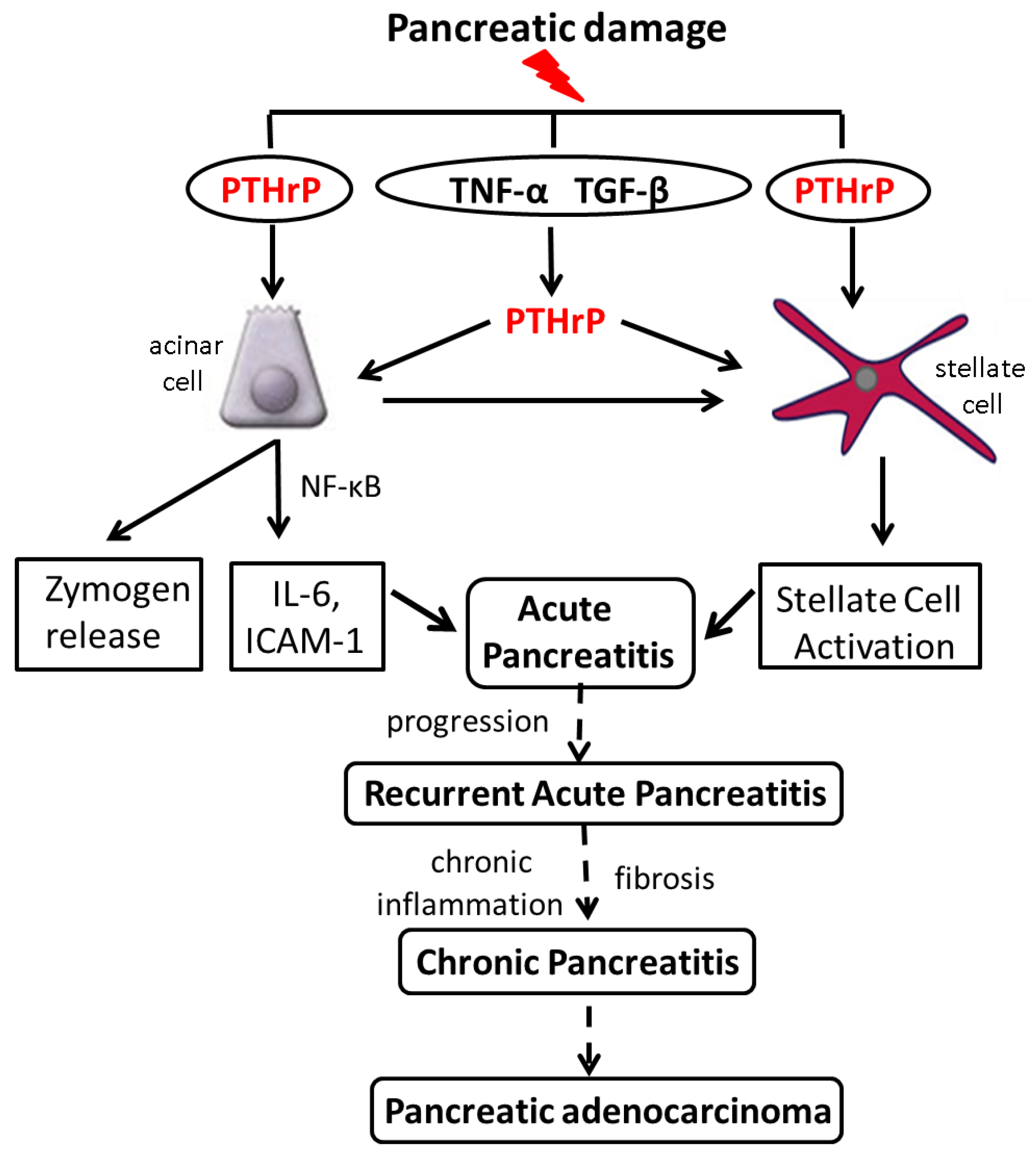 Cancers Free Full Text Role Of Parathyroid Hormone Related