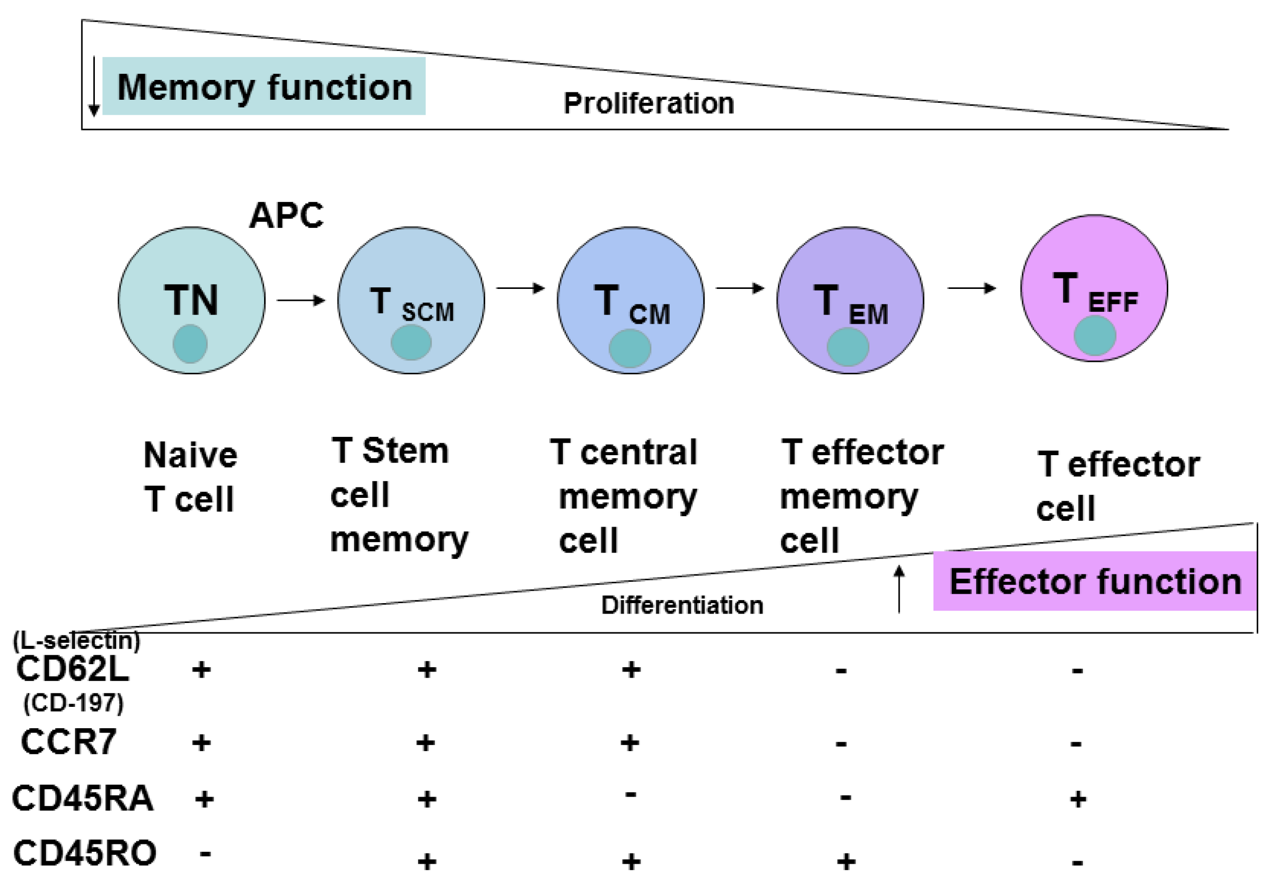 cd8 effector and memory t cells differentiation Naïve cd4+ and cd8+ t cells enter the circulation effector and memory cells effector t cells migrate to sites of infection cd4+ t cells 20 th differentiation:.