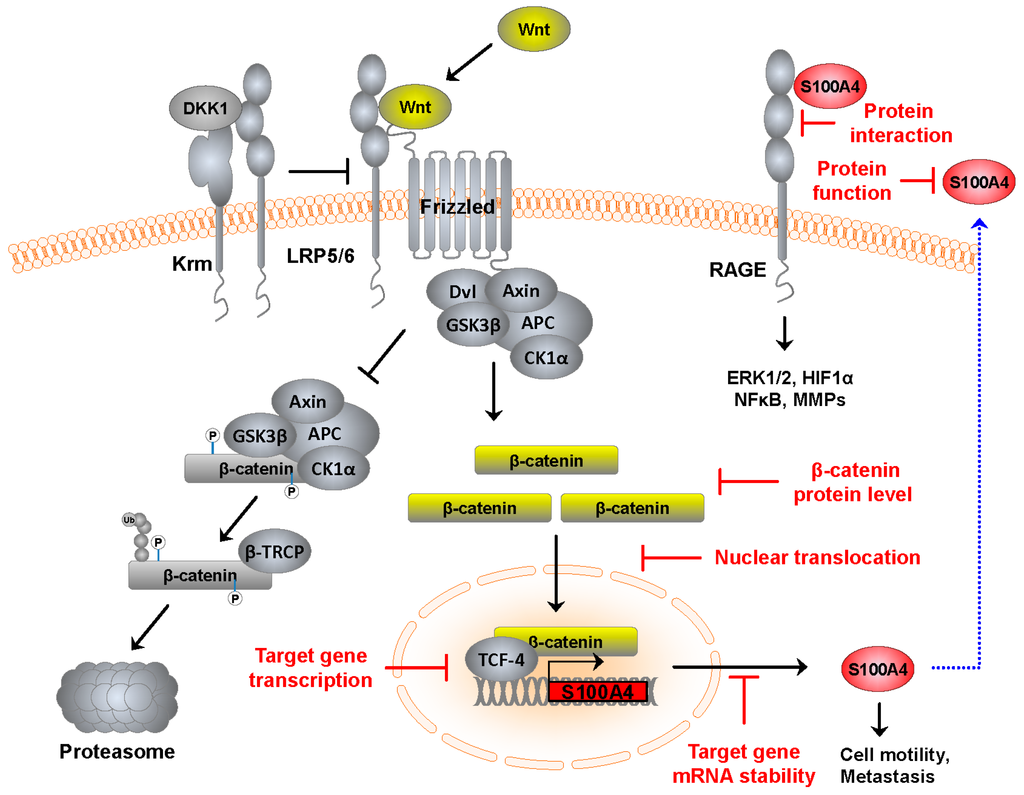 Cancers Free Full Text S100a4 In Cancer Metastasis Wnt Signaling Driven Interventions For Metastasis Restriction Html