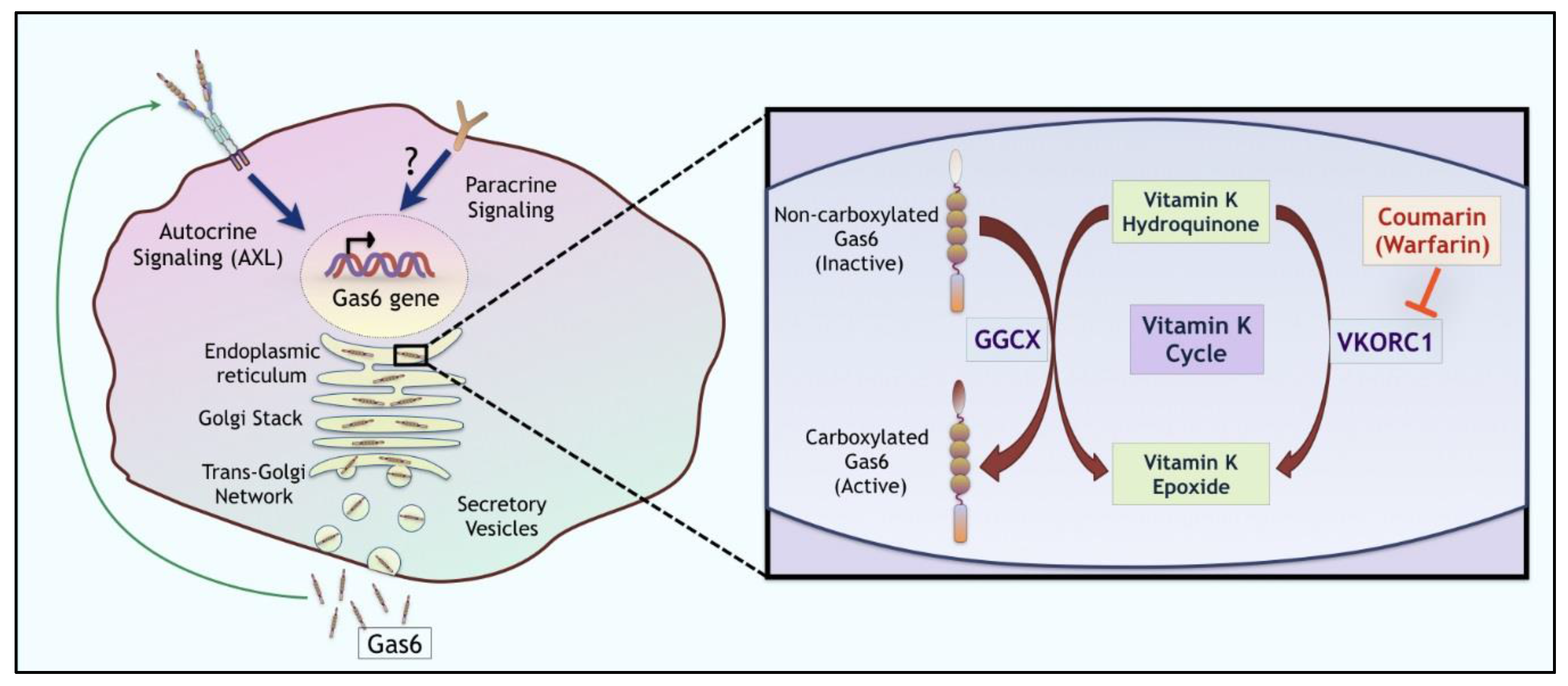 cancers full text ligand activation of tam family cancers full text ligand activation of tam family receptors implications for tumor biology and therapeutic response html