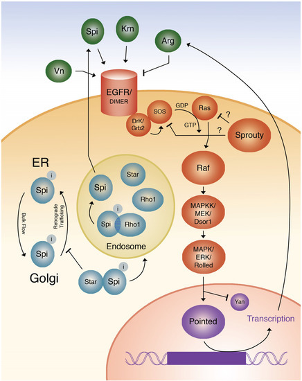 Epidermal Growth Factor Pathway Signaling in Drosophila Embryogenesis: Tools for Understanding Cancer