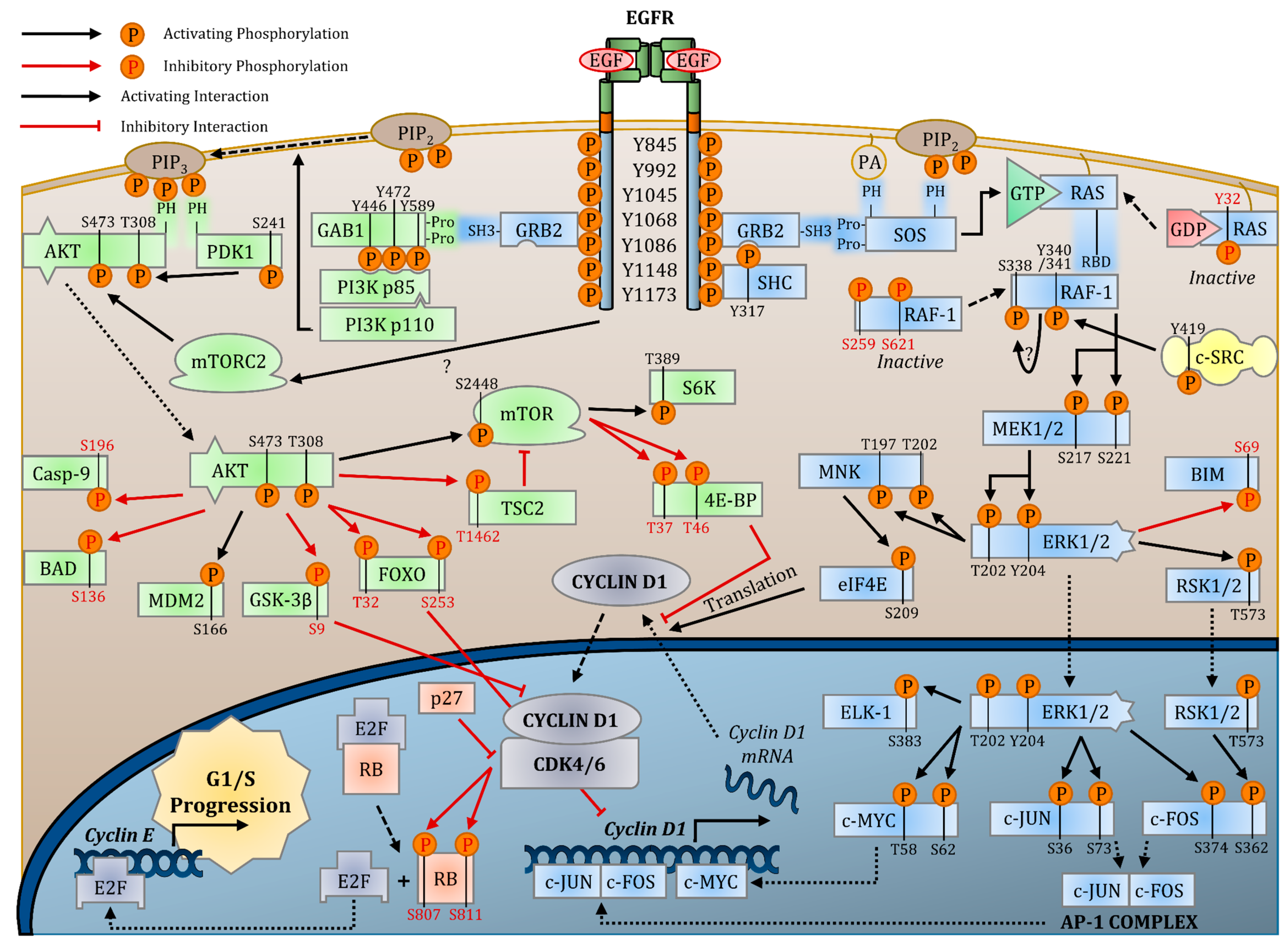 Pathway Pictures Cancers Free Full Text Epidermal Growth Factor