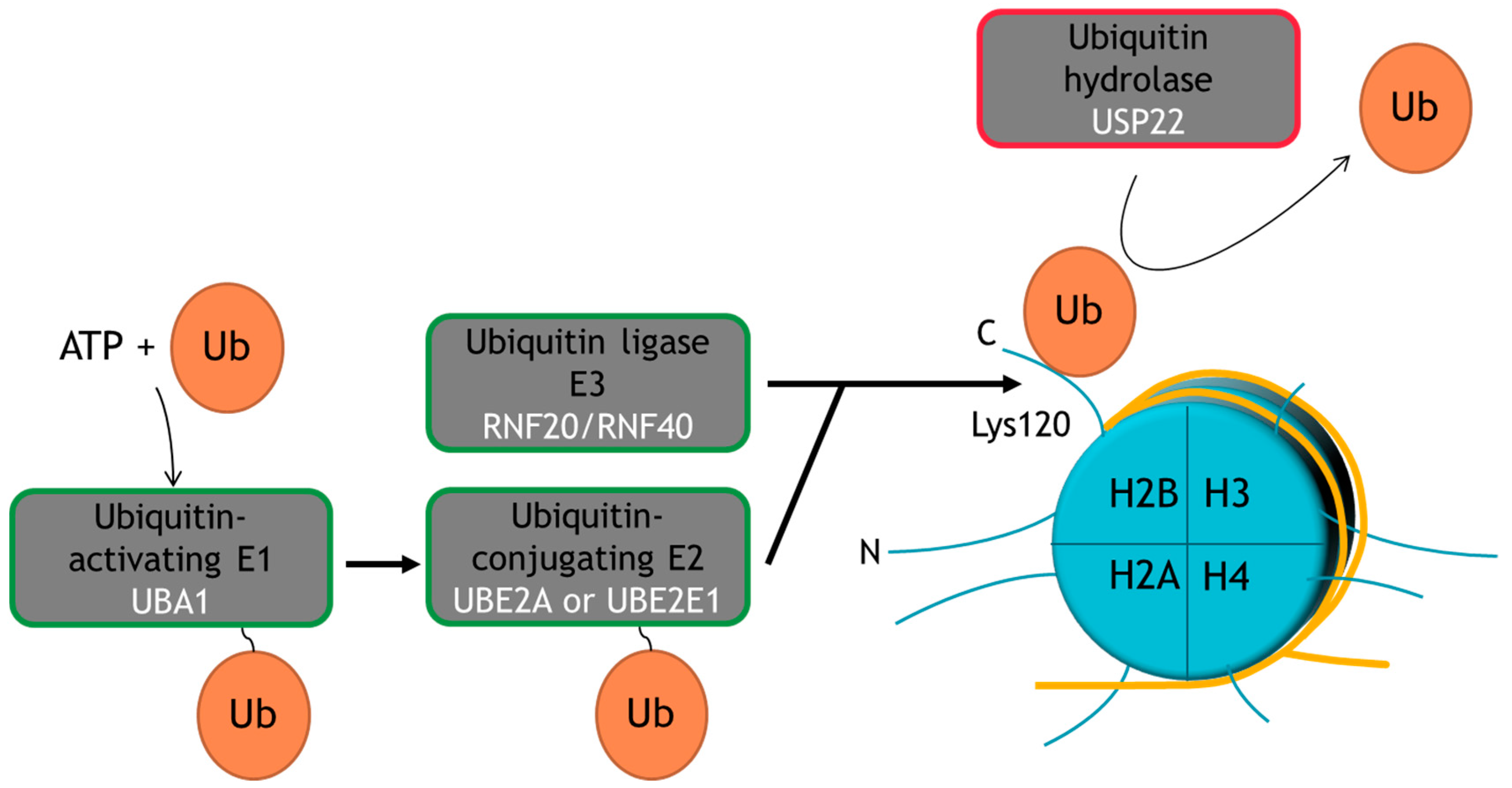cancers free fulltext ubiquitin specific peptidase 22
