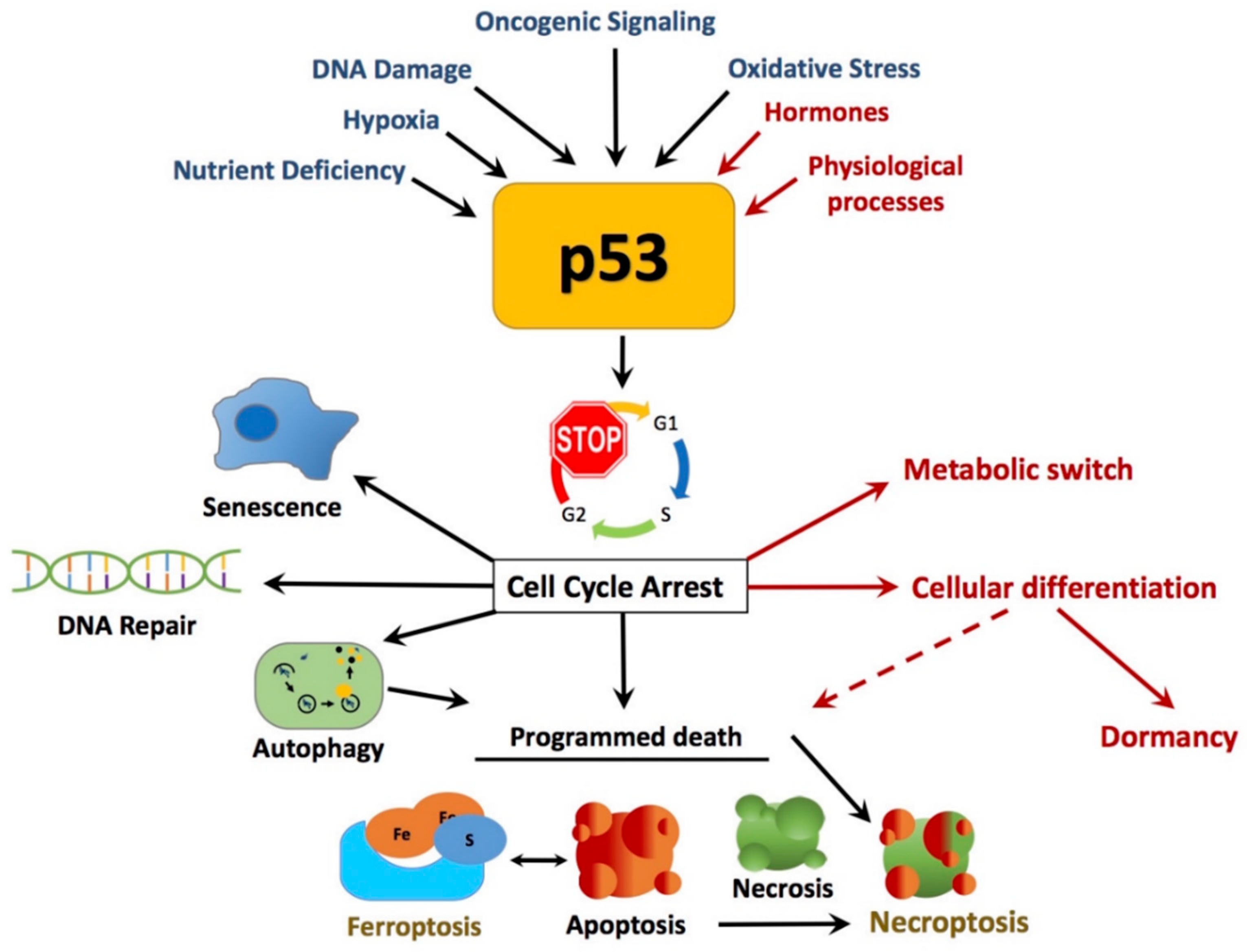 Cancers | Free Full-Text | The Roles of p53 in ...