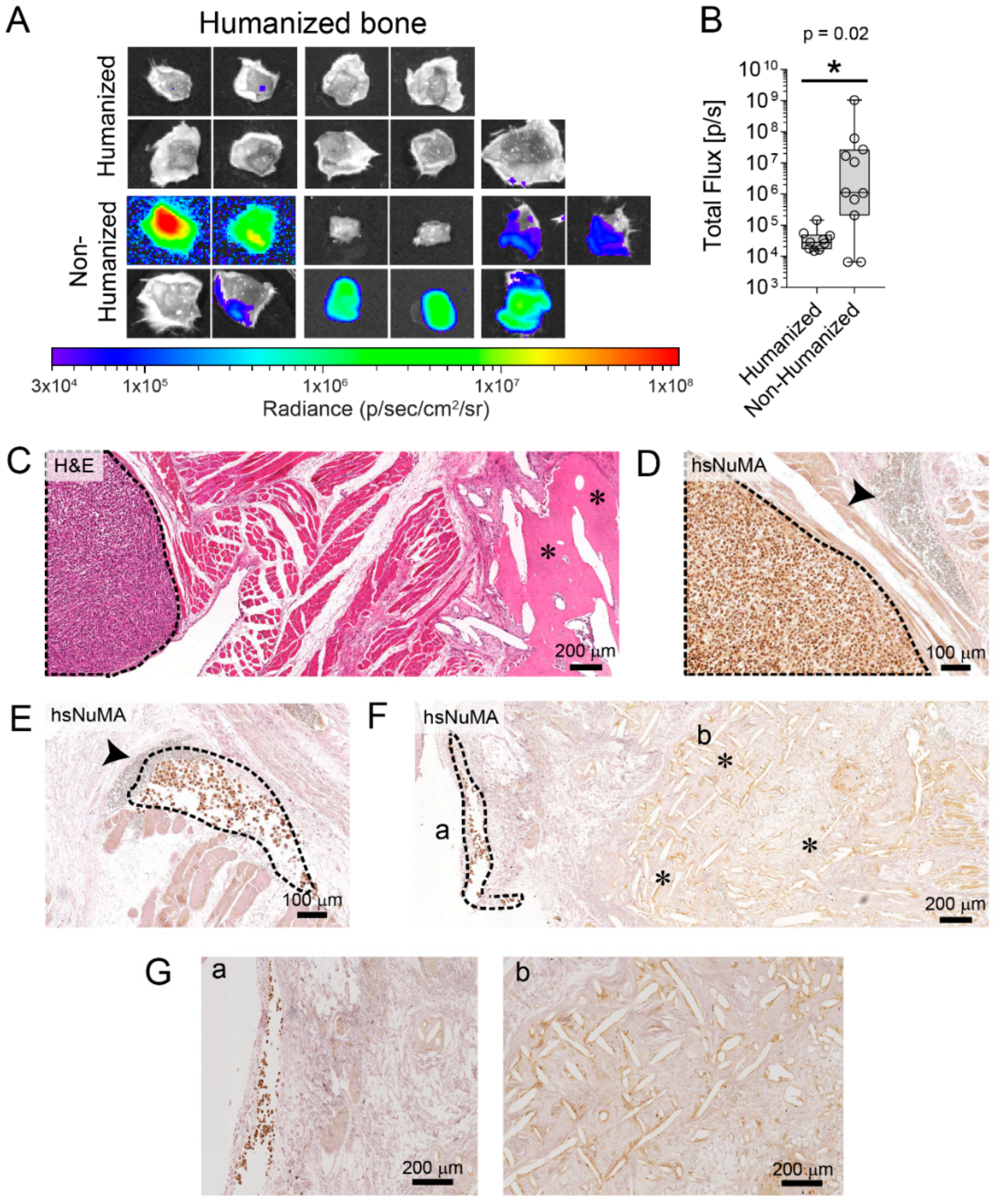 Effect of stromal p53 on PC3 tumor growth | Download