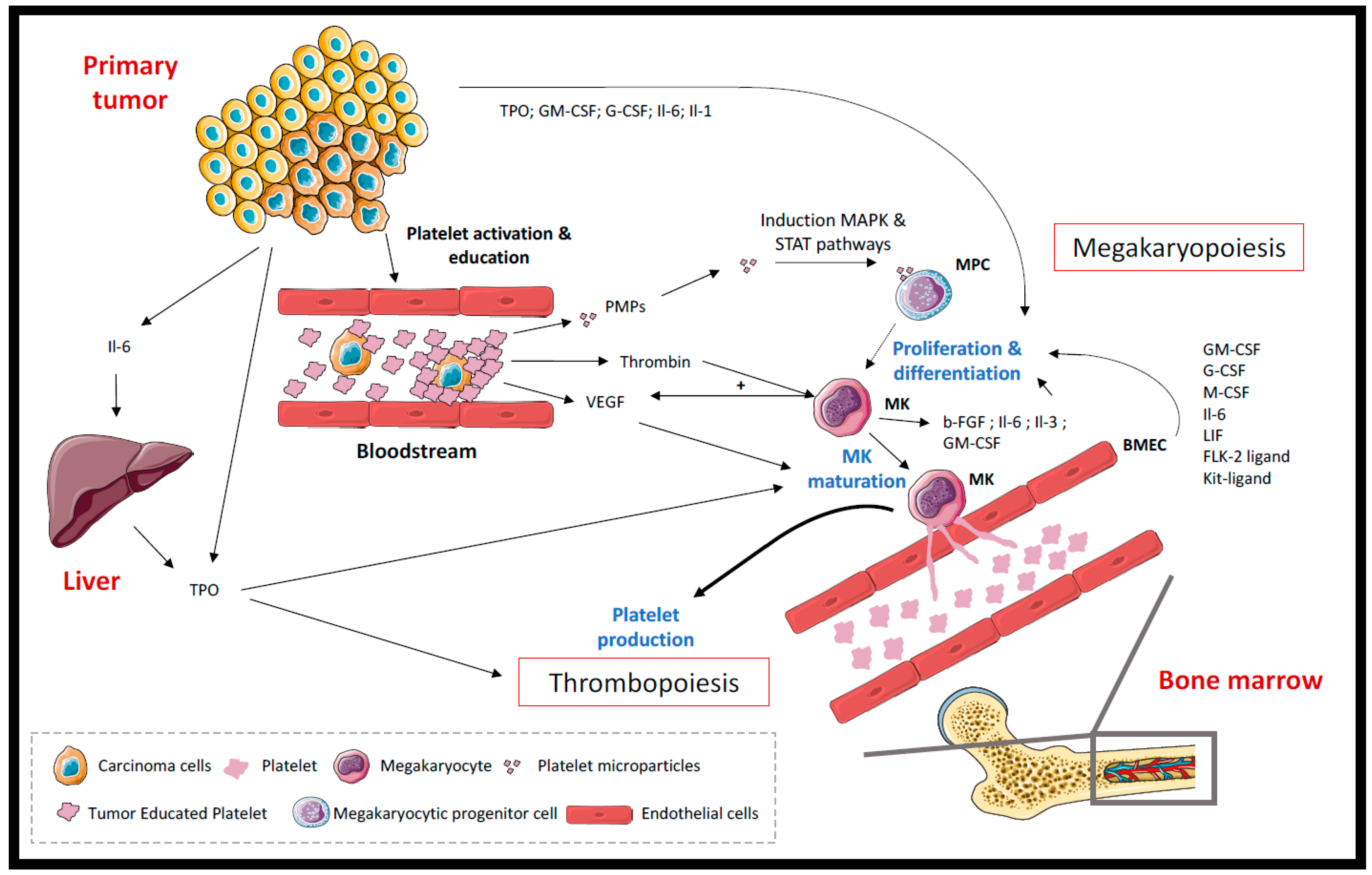 Cancers Free Full Text Impacts Of Cancer On Platelet Production Activation And Education And Mechanisms Of Cancer Associated Thrombosis Html