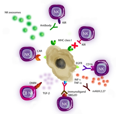 Cancers | Free Full-Text | NK Cell-Based Glioblastoma Immunotherapy