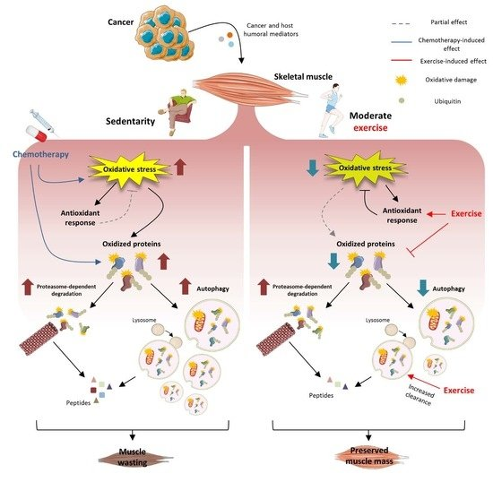 Cancers Free Full Text Moderate Exercise Improves Experimental Cancer Cachexia By Modulating The Redox Homeostasis