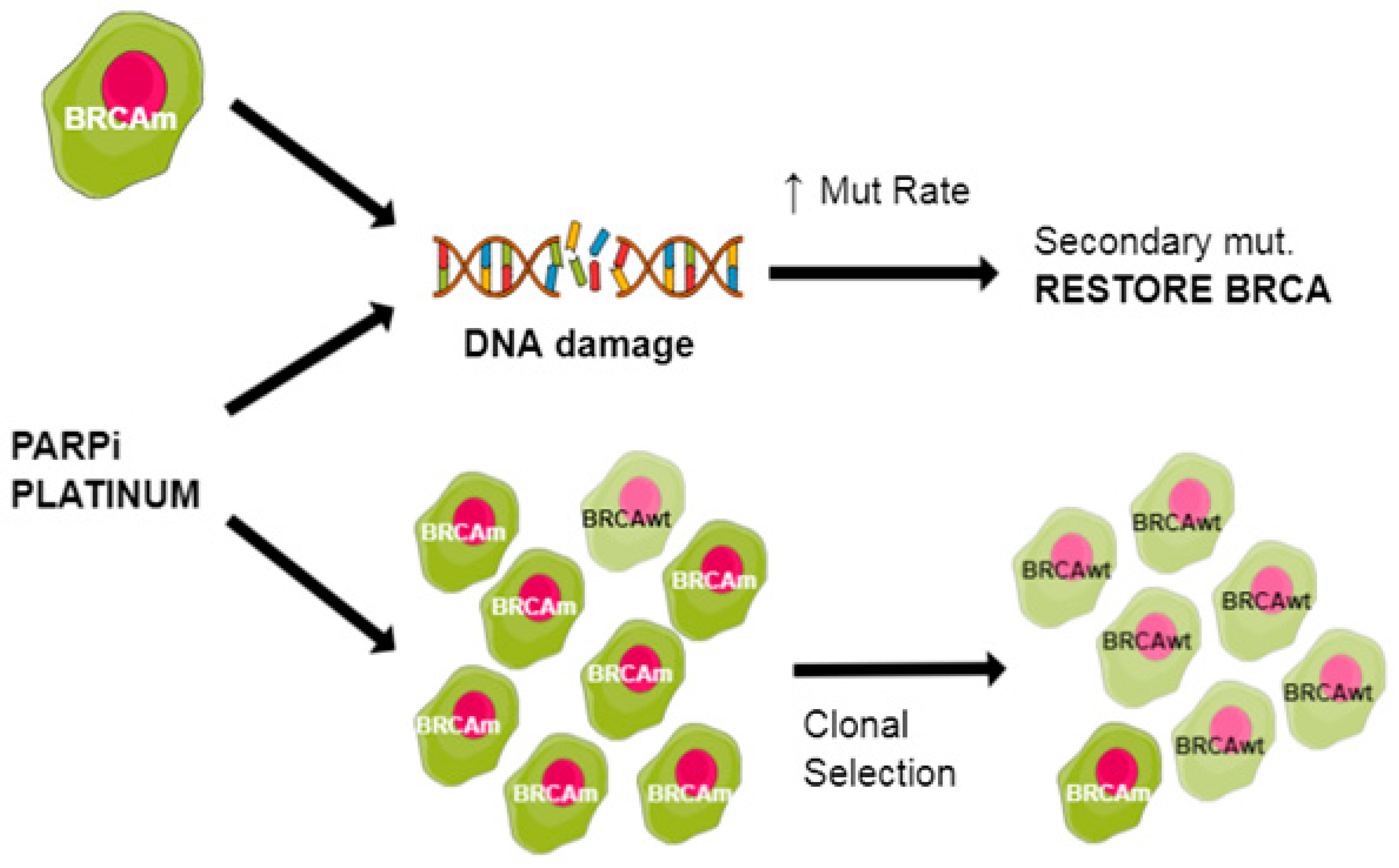 Cancers Free Full Text Tailoring Ovarian Cancer Treatment Implications Of Brca1 2 Mutations Html