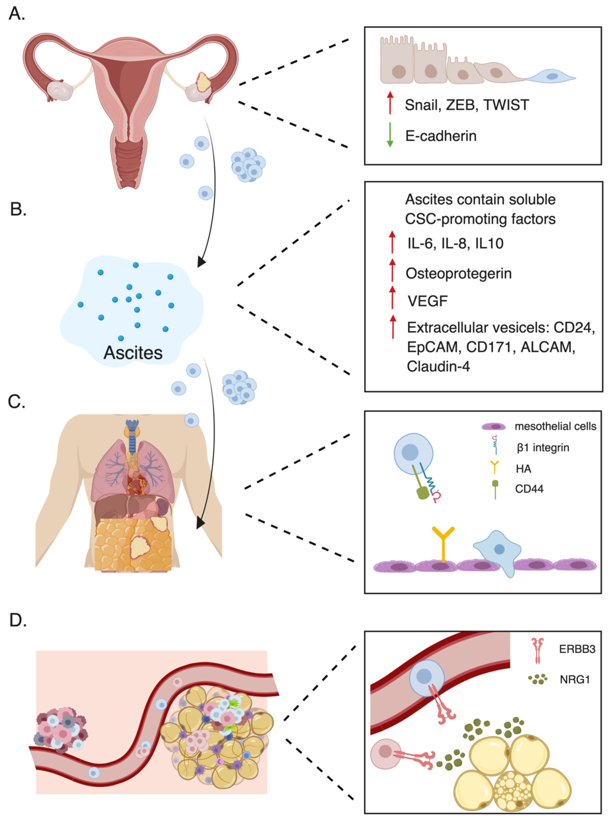 Cancers Free Full Text Ovarian Cancer Stem Cells Role In Metastasis And Opportunity For Therapeutic Targeting Html