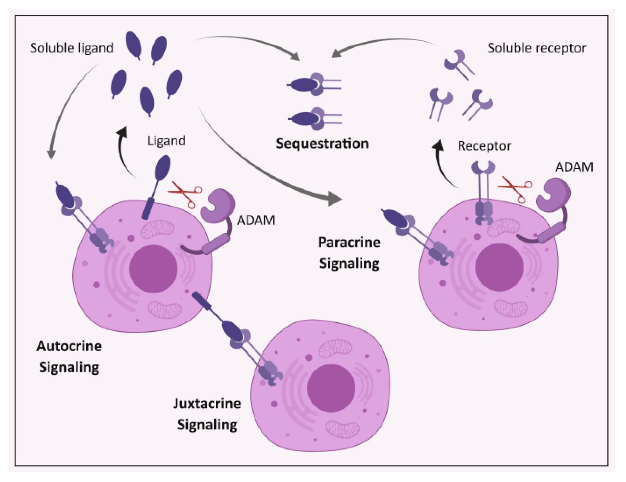 Cancers | Free Full-Text | ADAM17: An Emerging Therapeutic