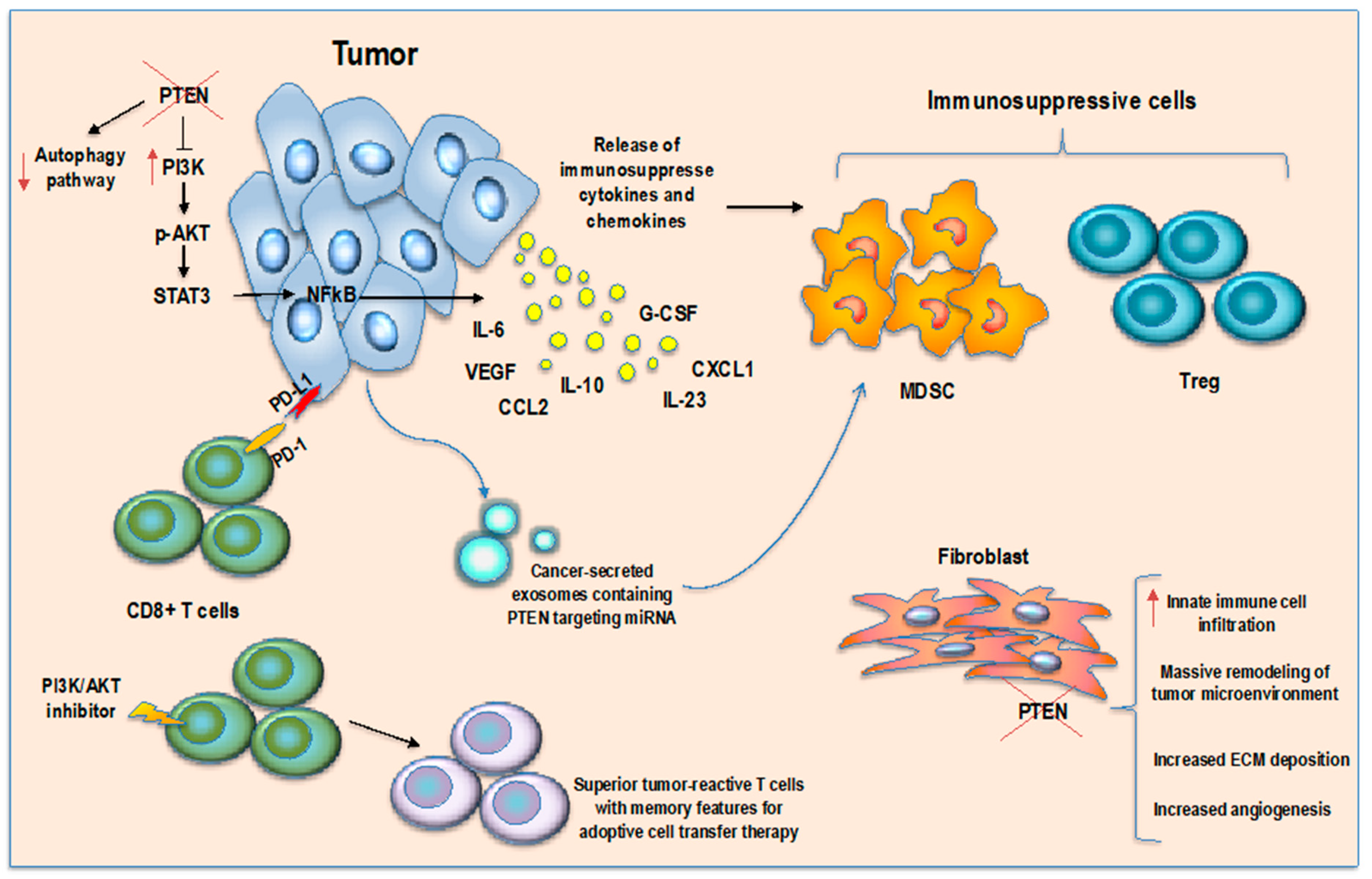Cancers Free Full Text Revising Pten In The Era Of Immunotherapy New Perspectives For An Old Story Html