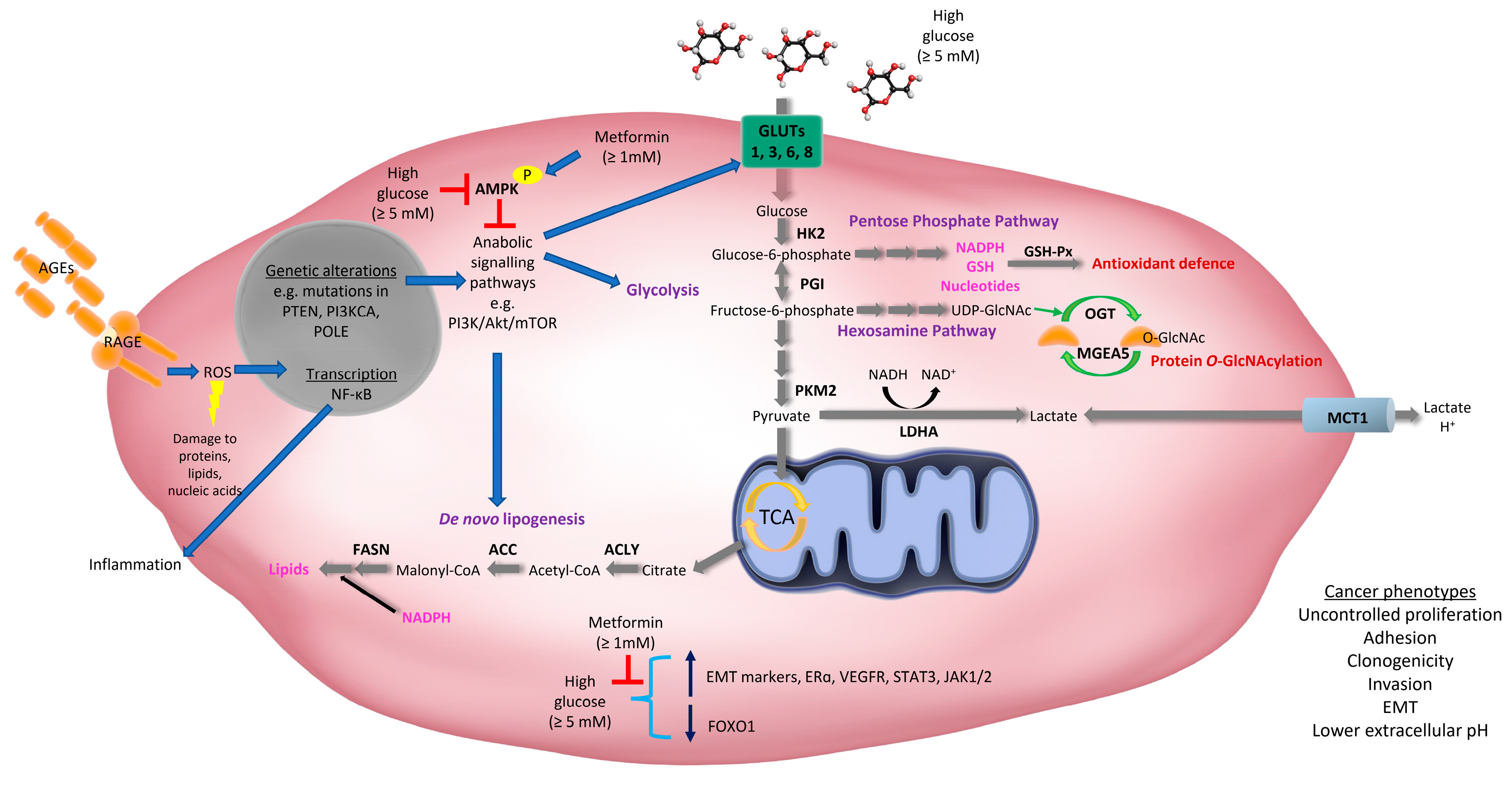 Cancers Free Full Text The Role Of Hyperglycemia In Endometrial Cancer Pathogenesis Html