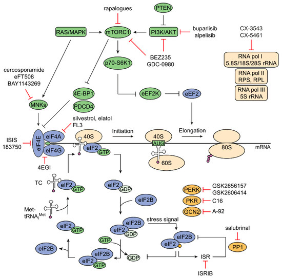 Cancers Free Full Text Targeting Protein Synthesis In Colorectal Cancer Html