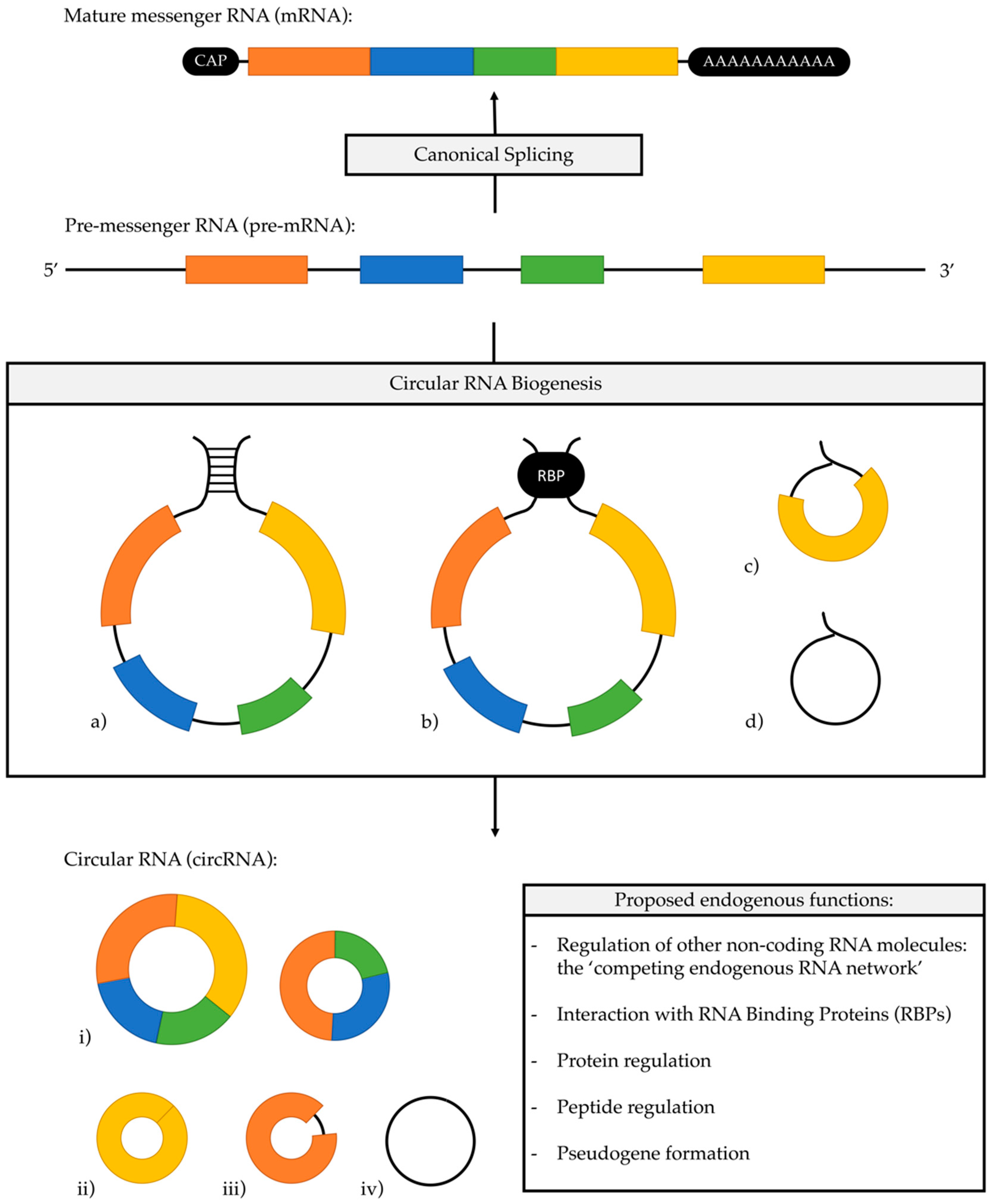 Cancers   Free Full-Text   The Role Of Circular RNAs In Pancreatic Ductal  Adenocarcinoma And Biliary-Tract Cancers   HTML