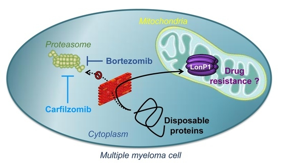 The Mitochondrial Protease LonP1 Promotes Proteasome Inhibitor Resistance in Multiple Myeloma