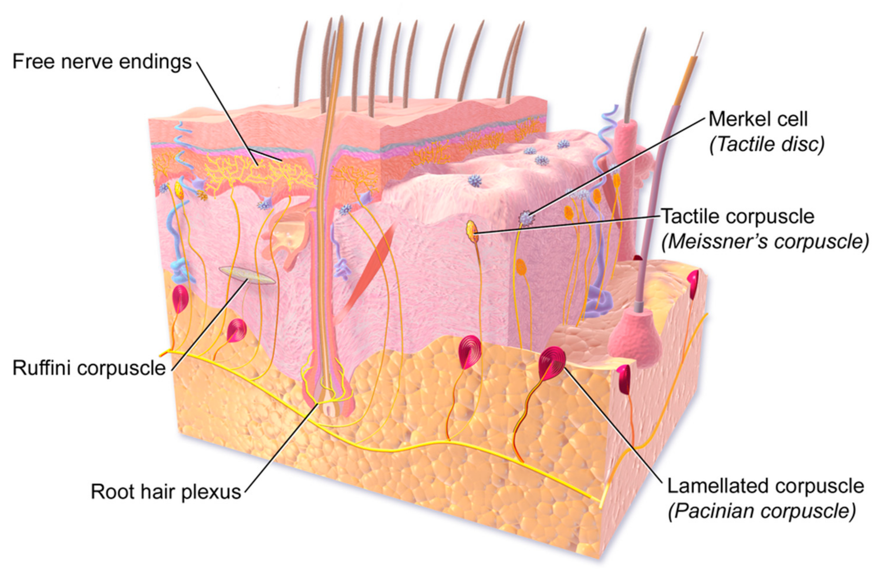 Epidermis Definition Of Epidermis By MerriamWebster,Maceration Definition  Of Maceration By Medical Dictionary,Infection Definition Of Infection By  Medical ...
