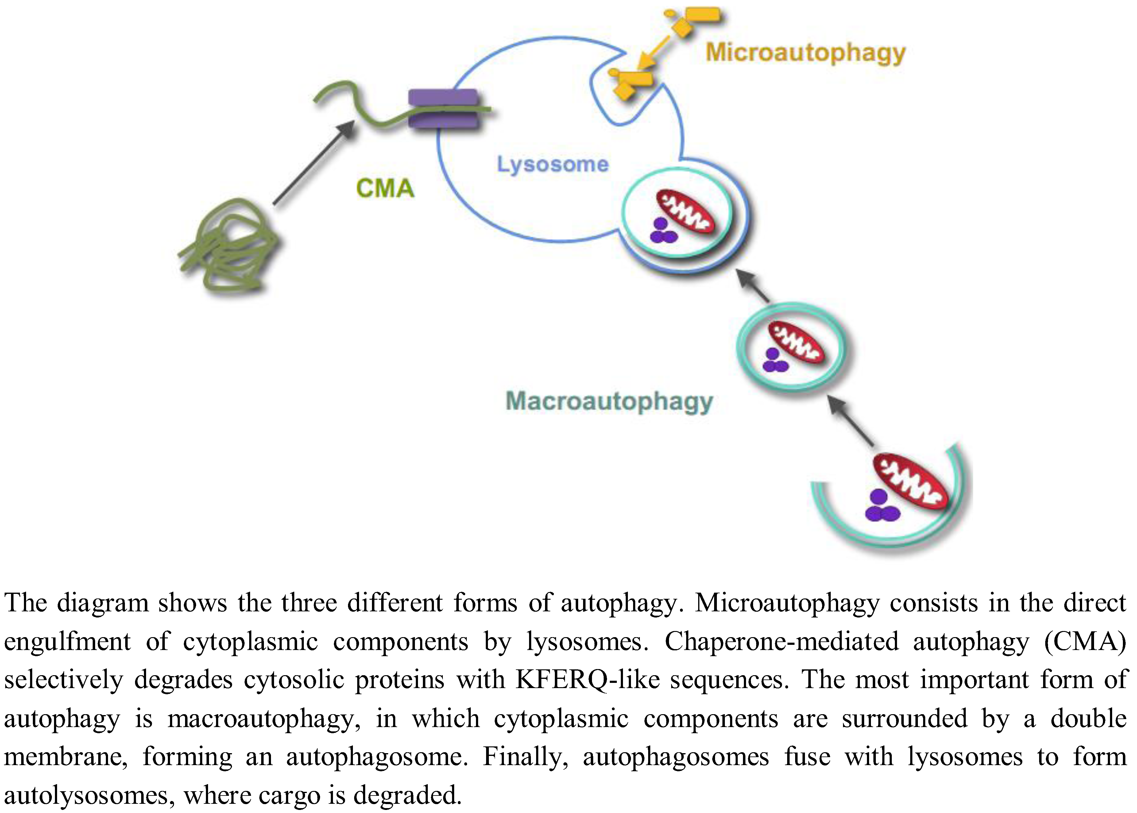 Cells | Free Full-Text | Regulation of Autophagy by Glucose in ...