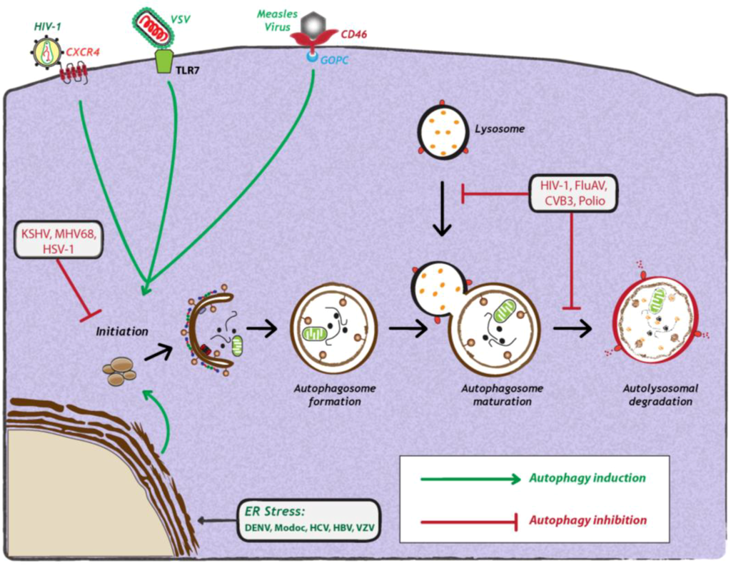Cells | Special Issue : Autophagy