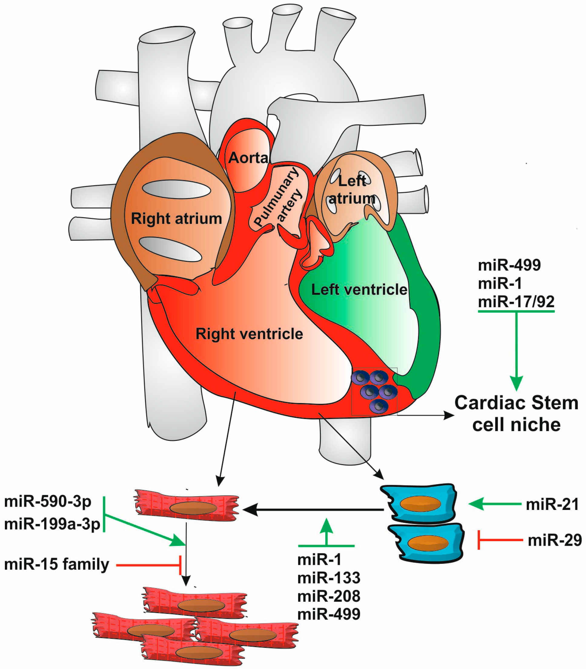 Cells Free Full Text Regulation Of Cardiac Cell Fate By