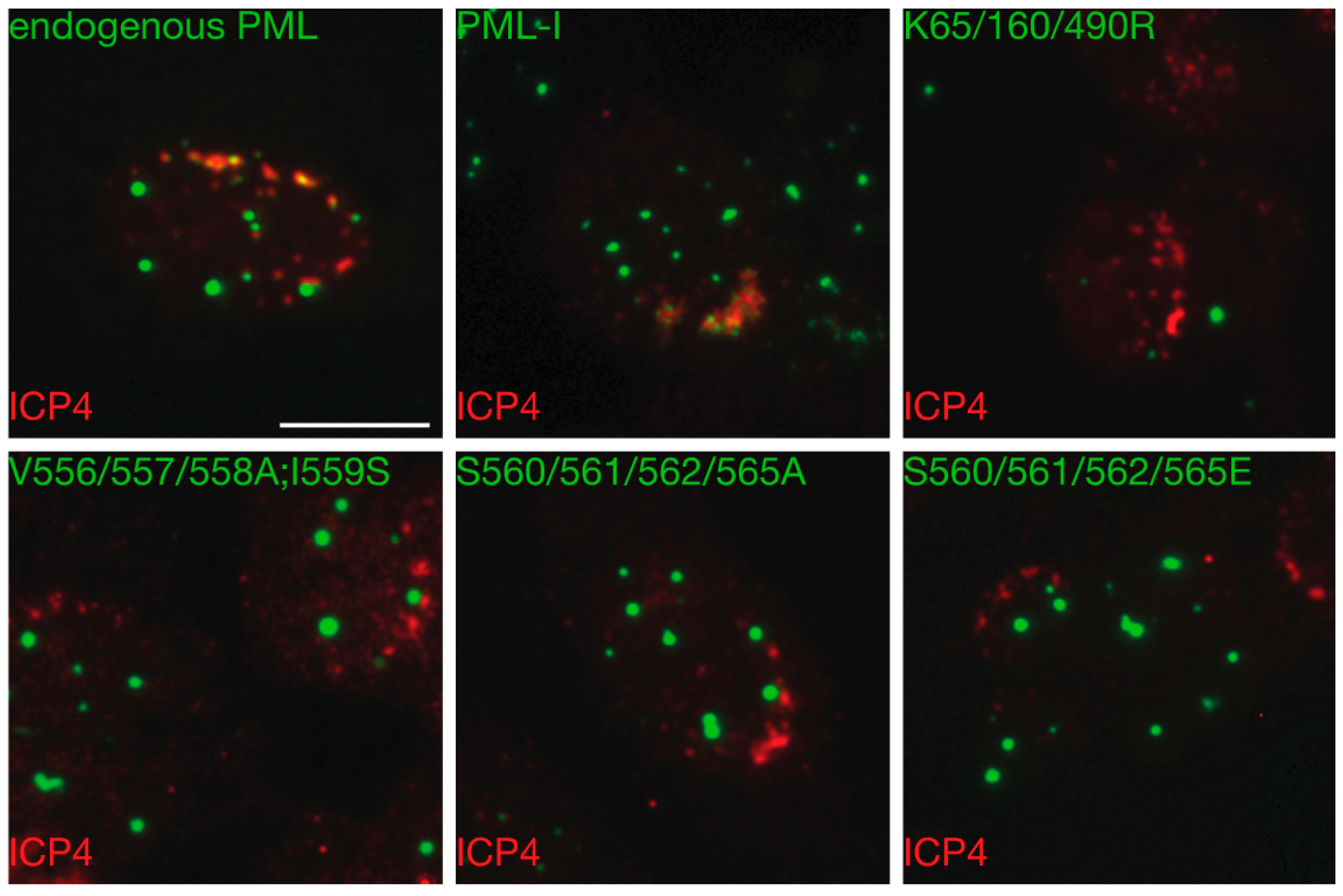 Cells | Free Full-Text | A Phospho-SIM in the Antiviral Protein PML