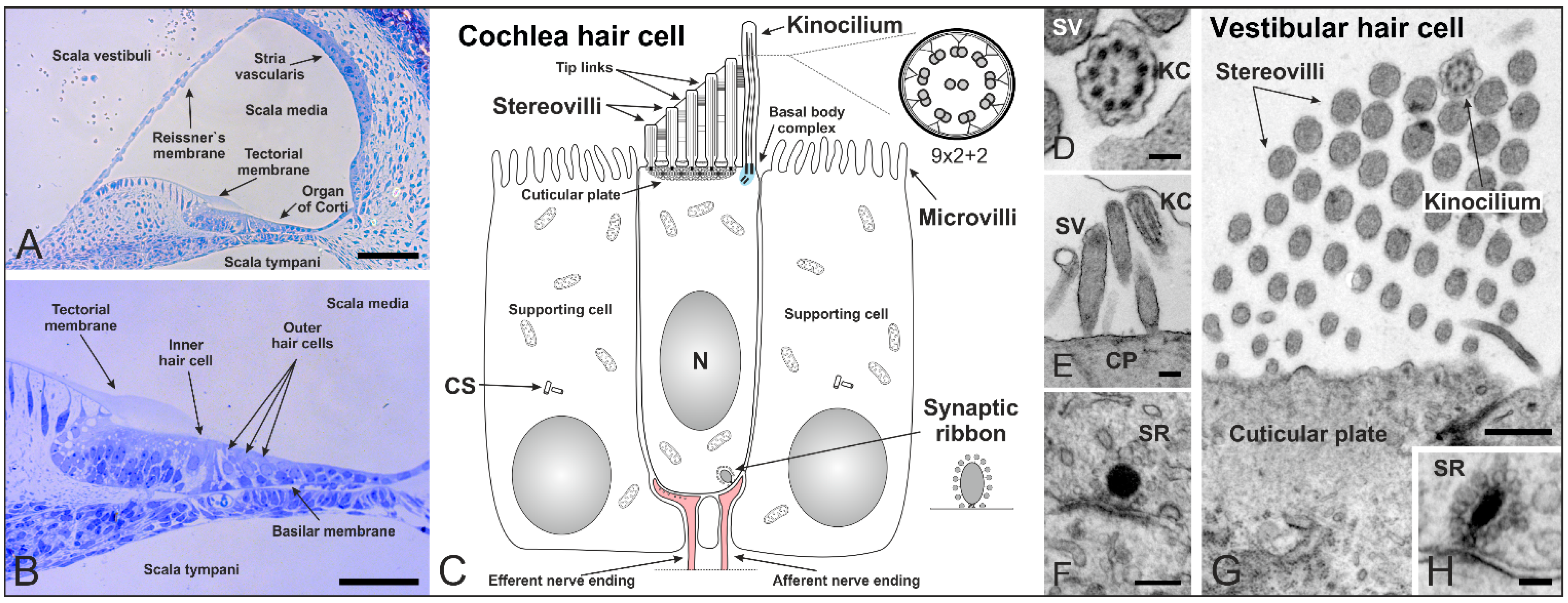 Cells free full text specialized cilia in mammalian sensory systems no ccuart Choice Image