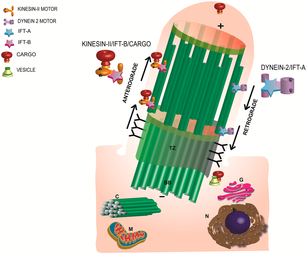 Cells | Special Issue : Cilia and Flagella: Biogenesis and