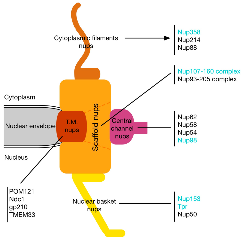 Cells | Free Full-Text | Complex Commingling: Nucleoporins ...