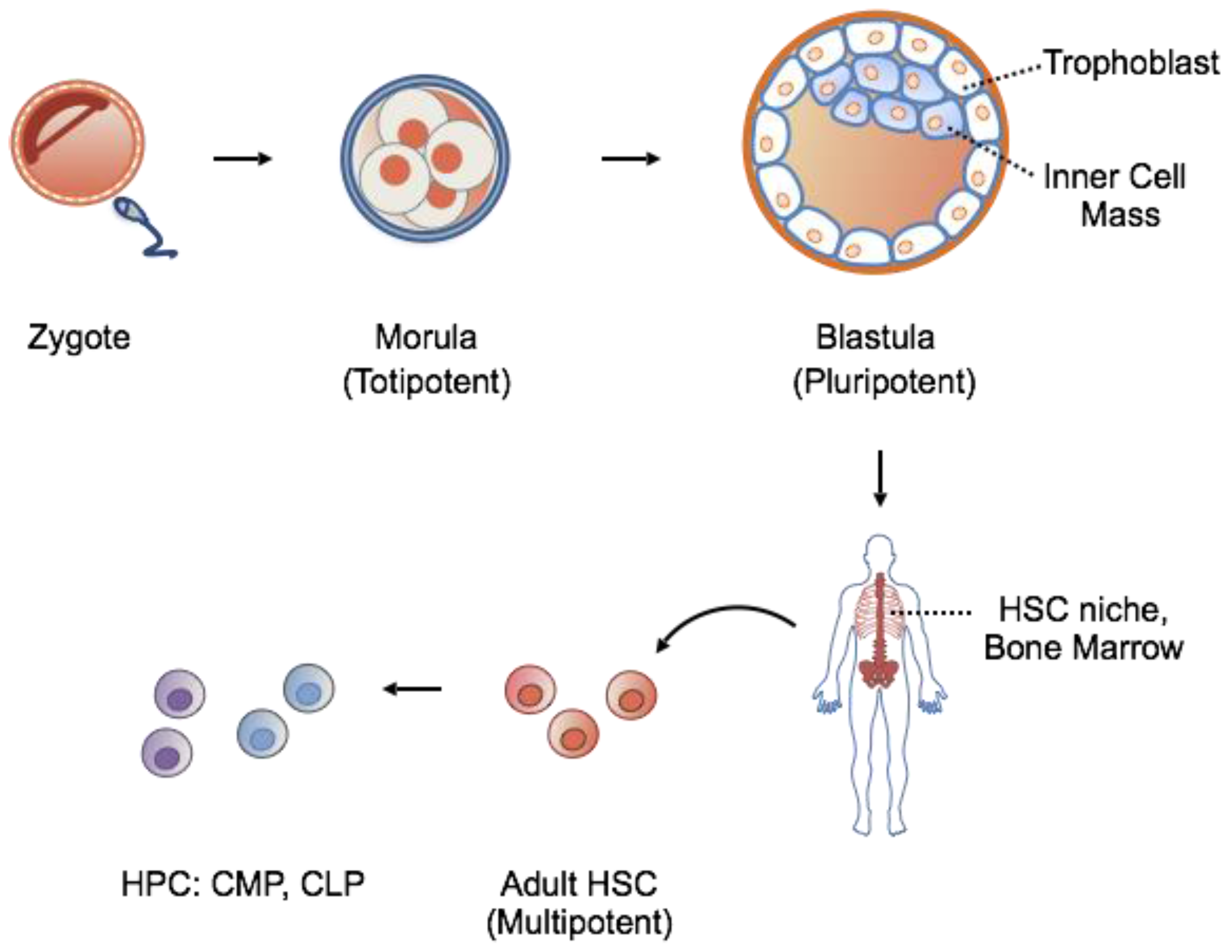 Adult Source Of Pluripotent Stem Cells - In Addition To Reprogramming Cells  Dovidinfo-1607
