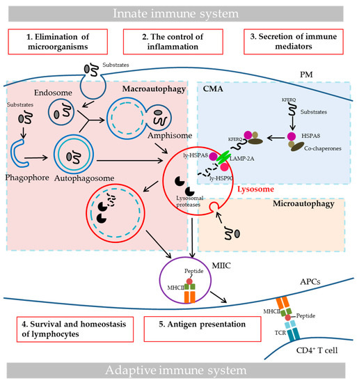 Cells | Free Full-Text | Assessing Autophagy in Mouse Models