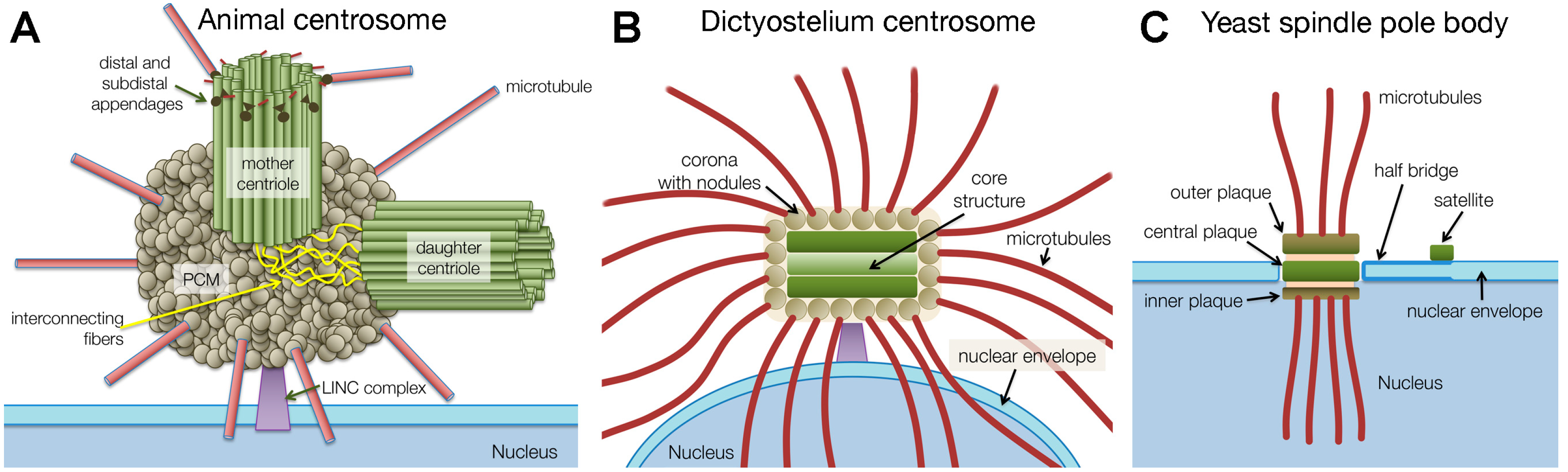 Centrioles Structure Eukaryotic Cell Of Cells Free Full Text Comparative Biology Centrosomal 3556x1071