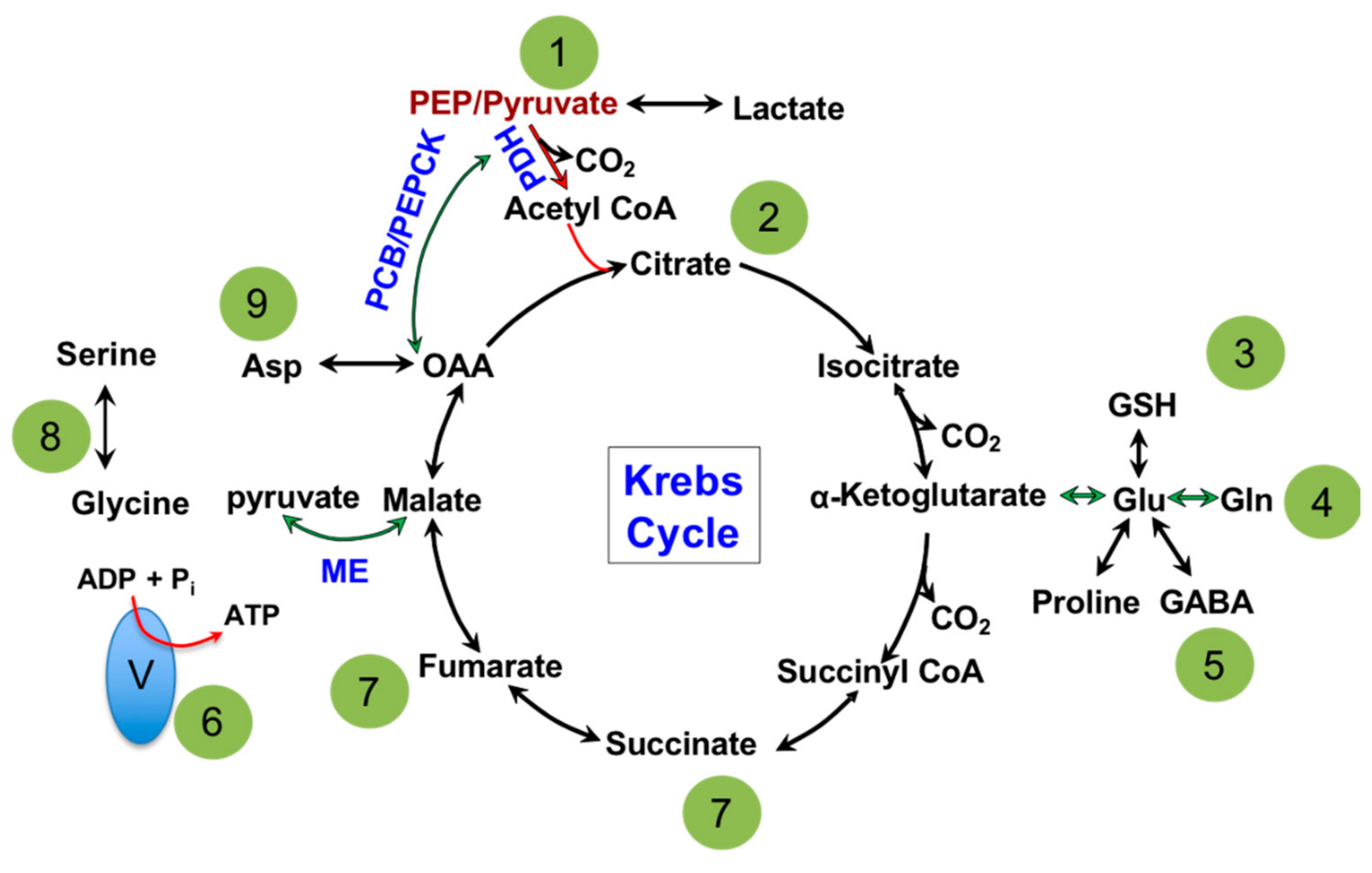 Cells | Free Full-Text | Mitochondrial Metabolism in Major