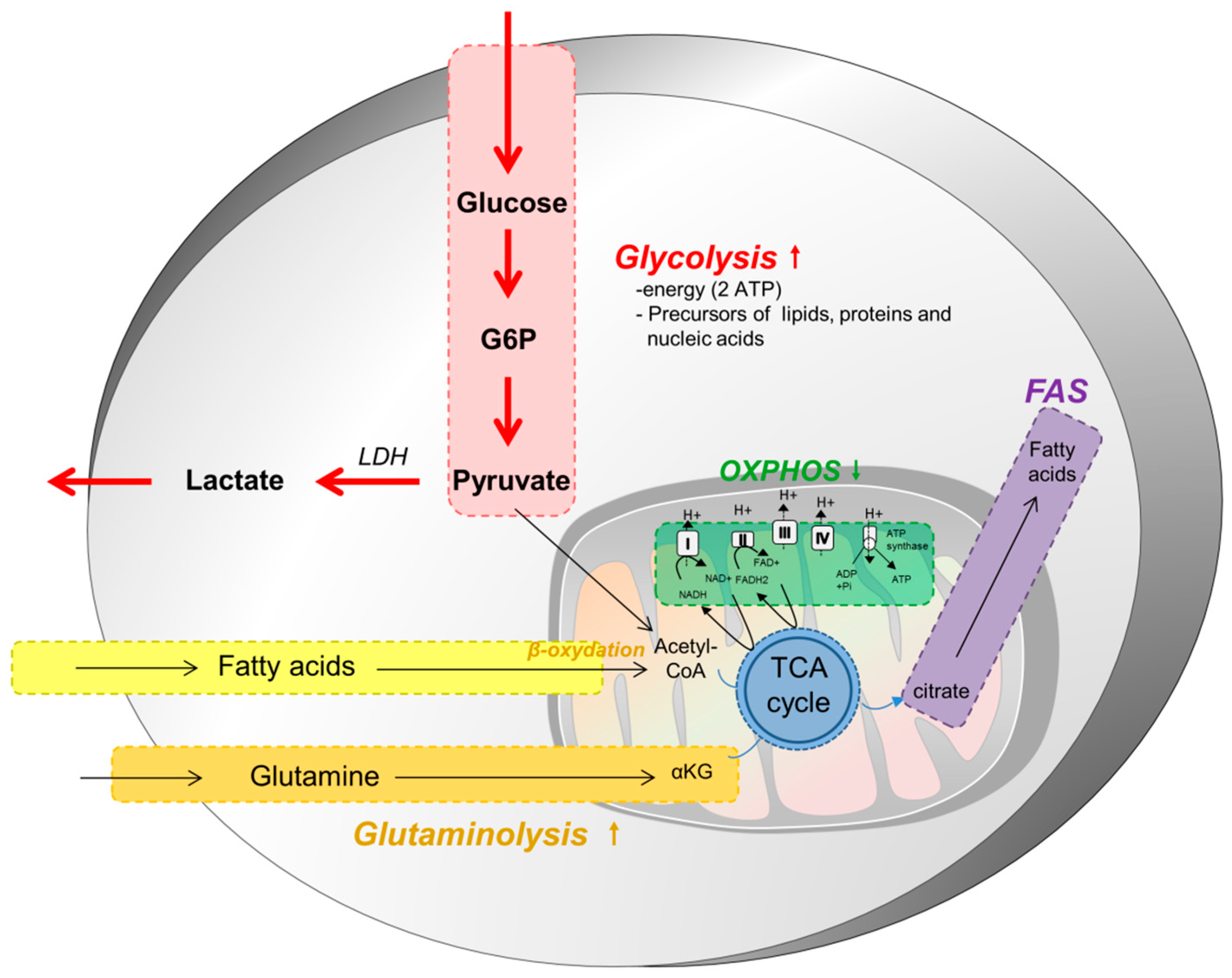 Cellular metabolism and the immune response control