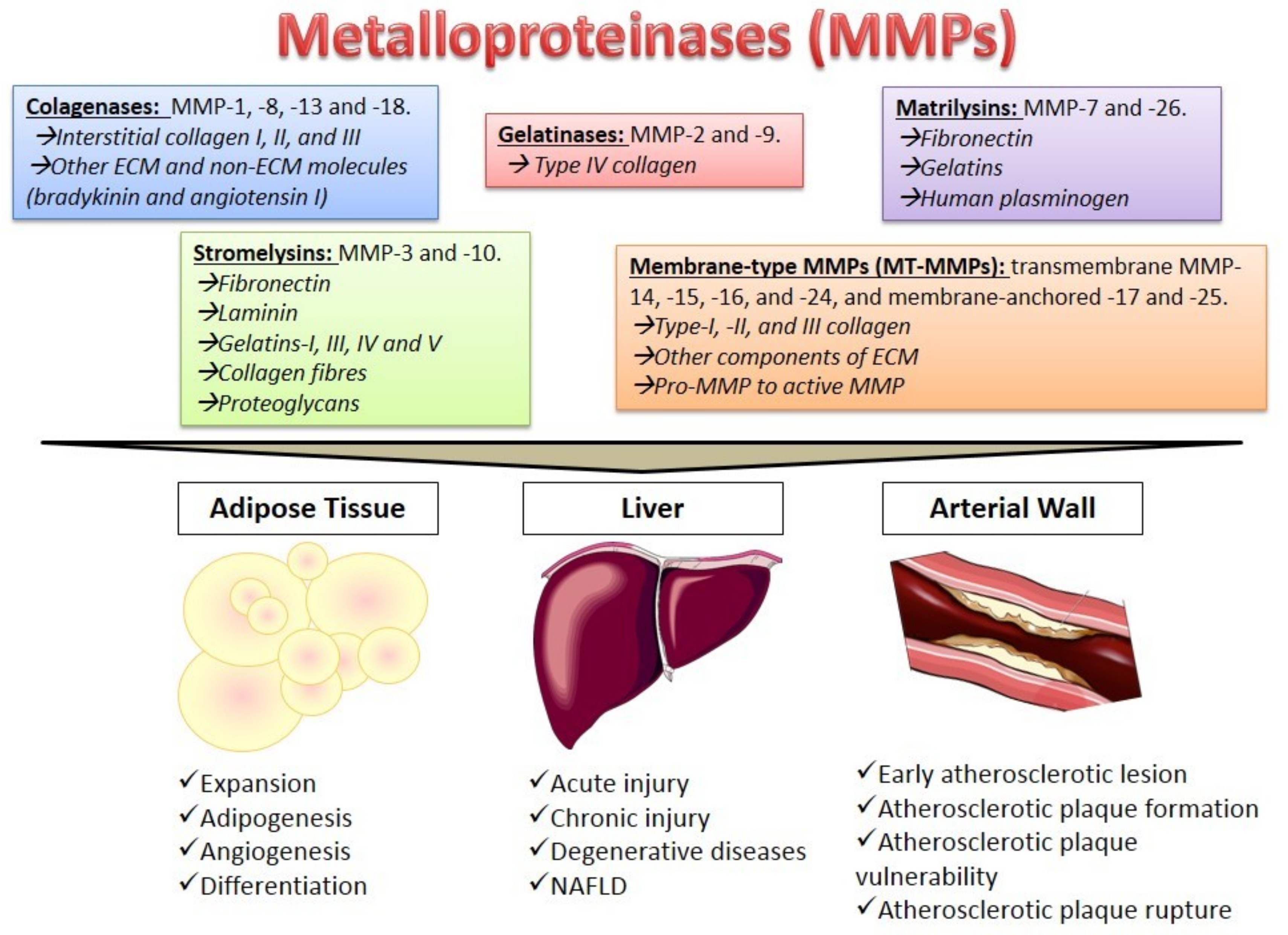 Cells | Free Full-Text | Behavior of Metalloproteinases in Adipose