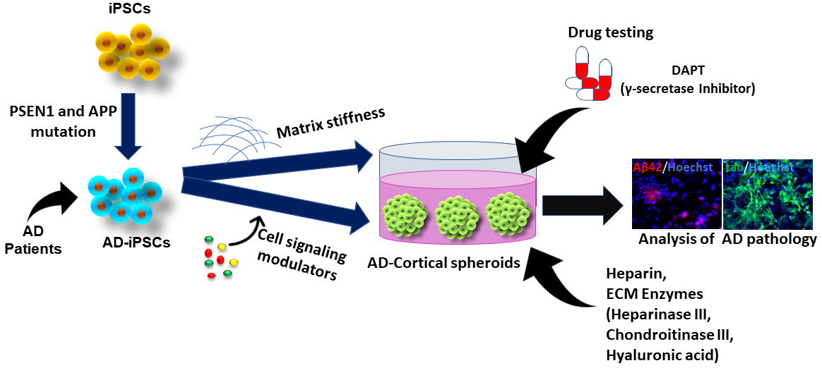 Cells | Free Full-Text | The Use of Pluripotent Stem Cell-Derived