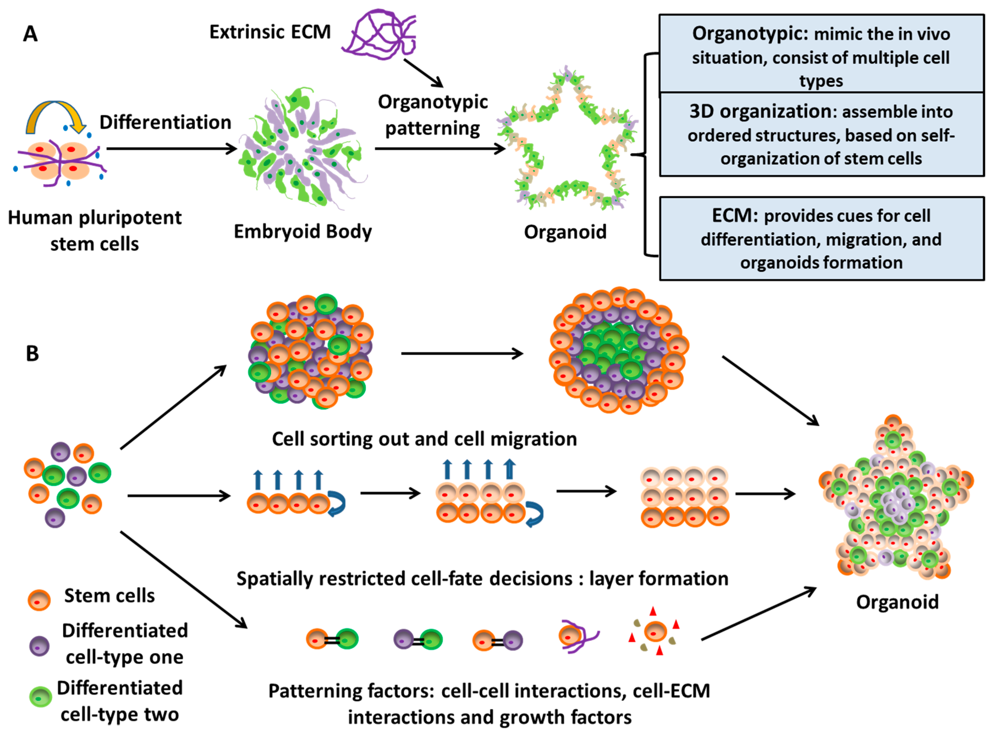 Cells Free Full Text The Use Of Pluripotent Stem Cell Derived Organoids To Study Extracellular Matrix Development During Neural Degeneration Html