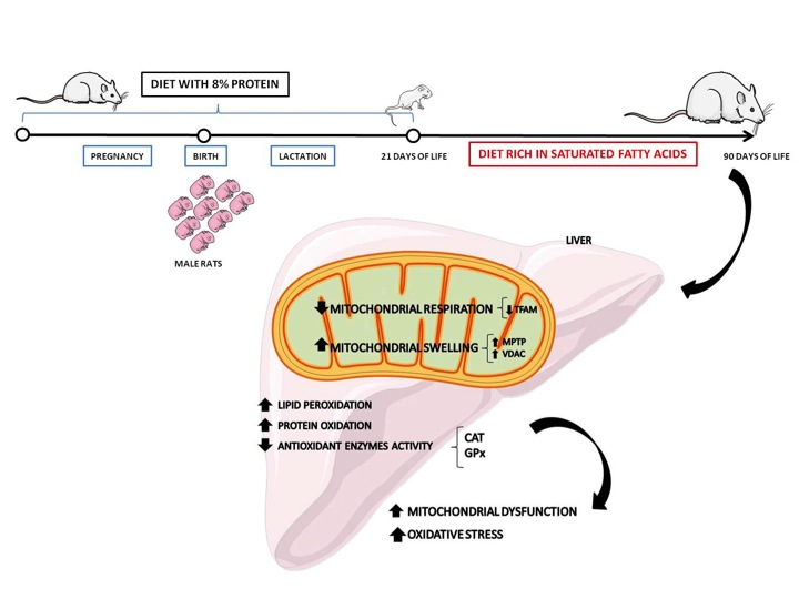 Impaired Recycling Of Mitochondria In >> Cells Free Full Text Saturated Fatty Acid Enriched Diet