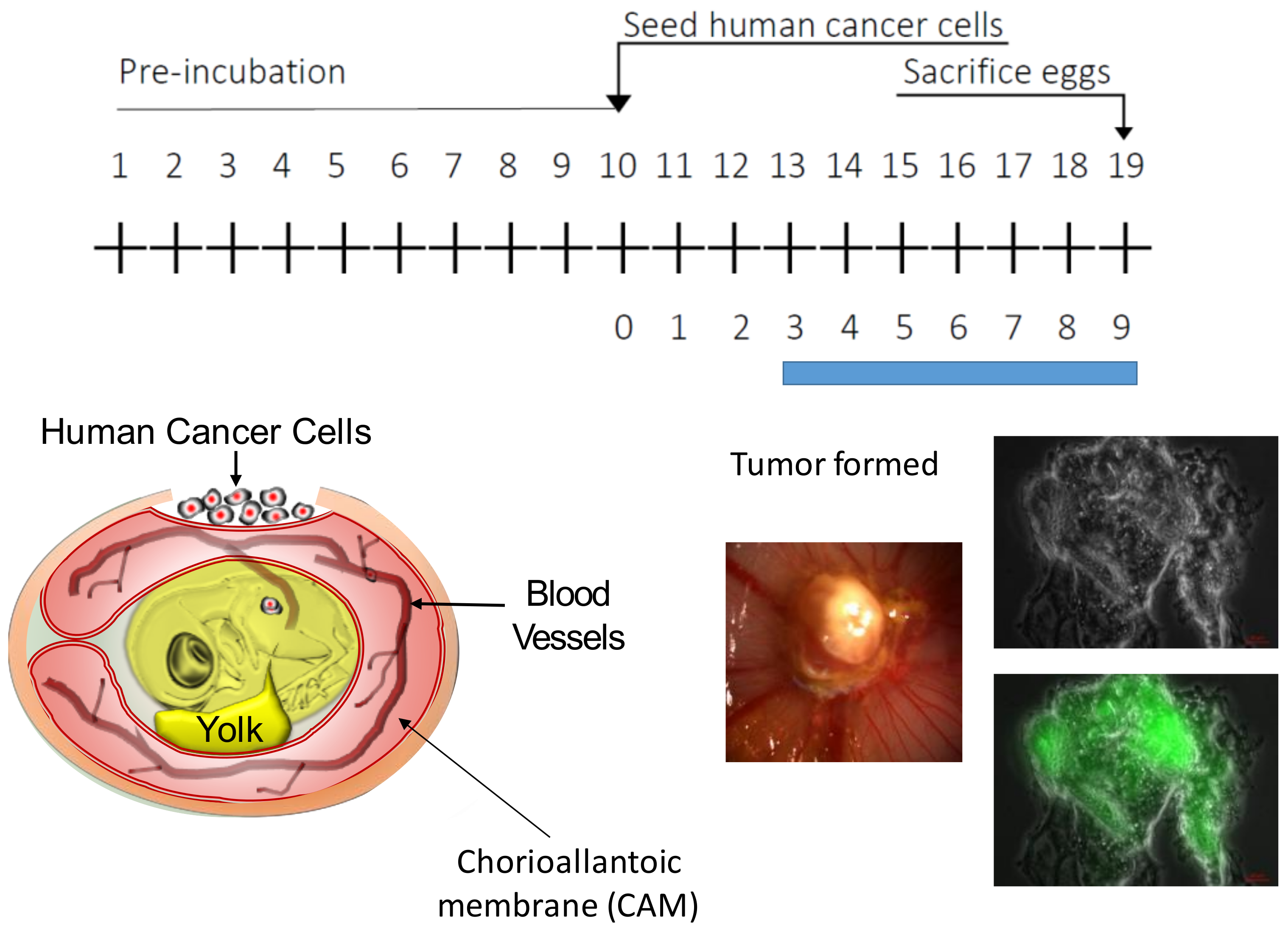 Cells | Free Full-Text | Patient Derived Chicken Egg Tumor