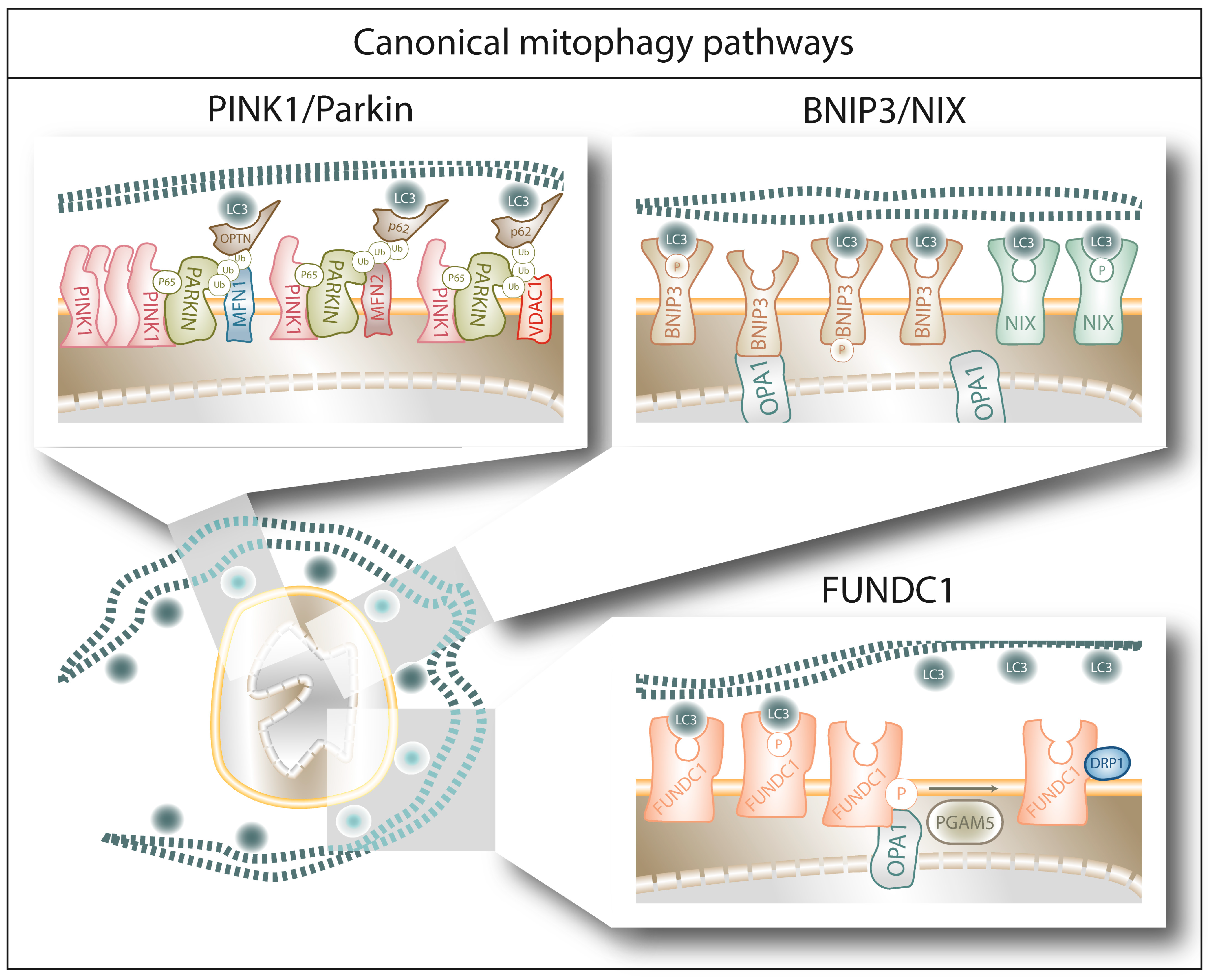 Cells Free Full Text Mitophagy In Cancer A Tale Of Adaptation