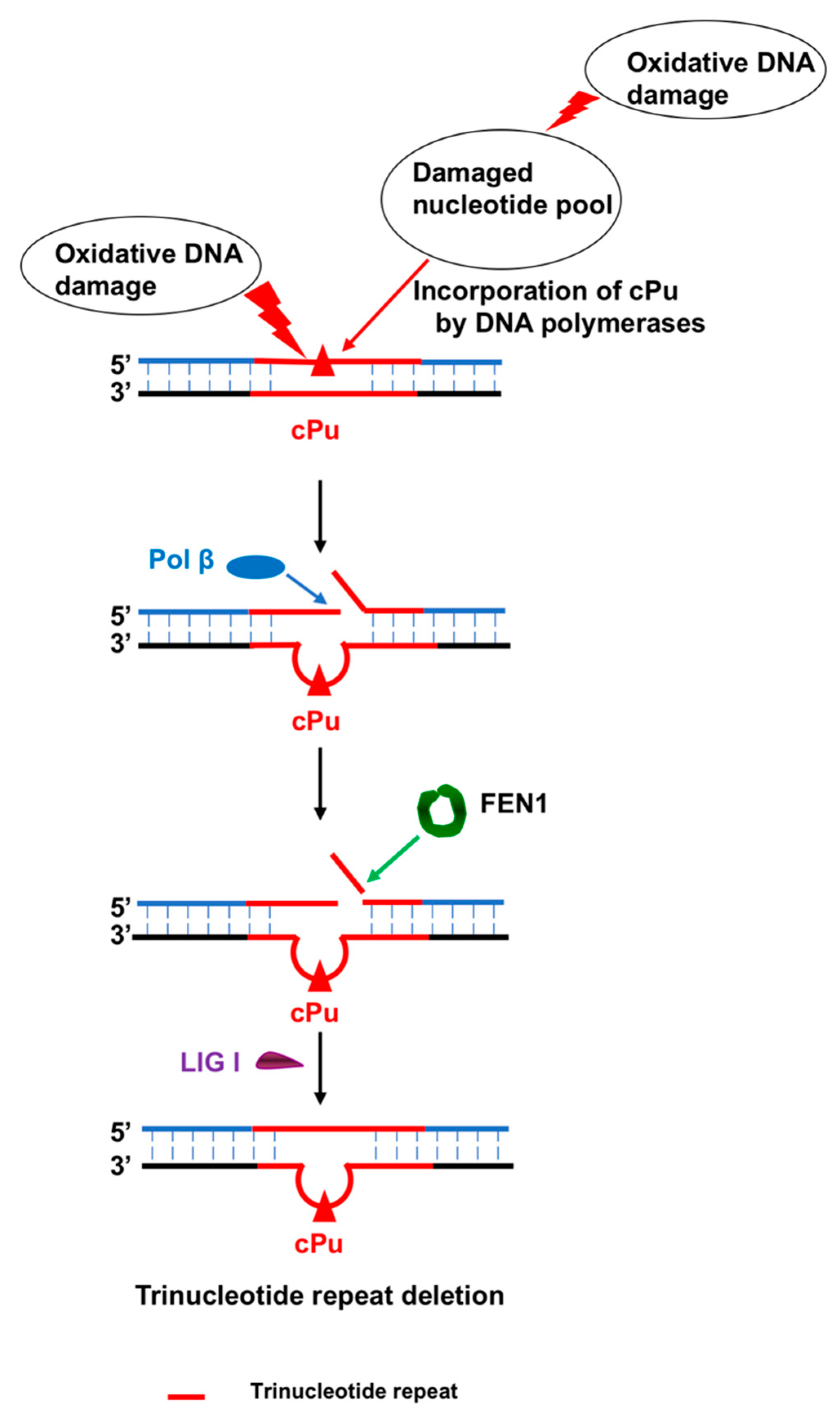 Cells | Free Full-Text | 5′,8-Cyclopurine Lesions in DNA