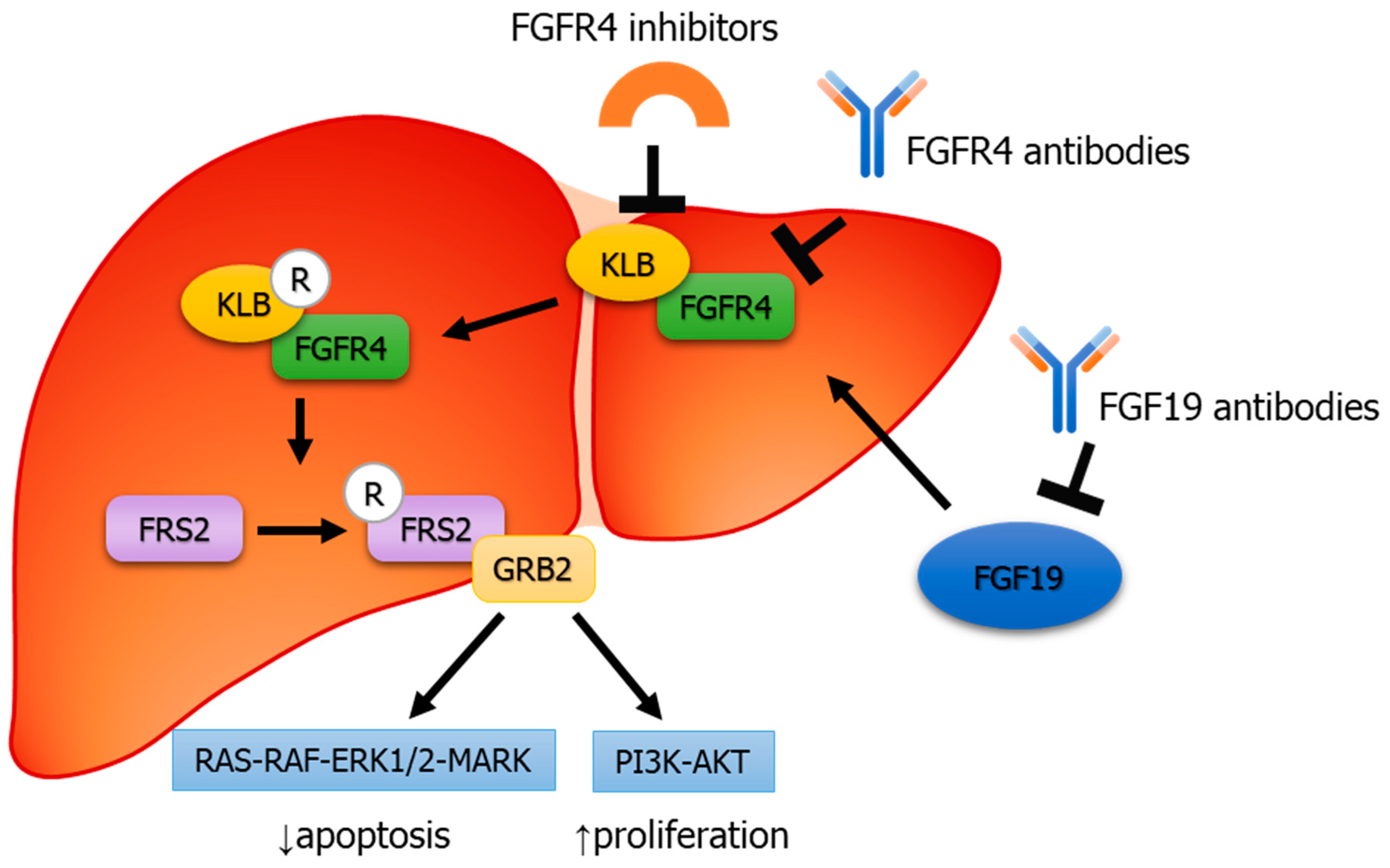 Cells | Free Full-Text | FGF19–FGFR4 Signaling in