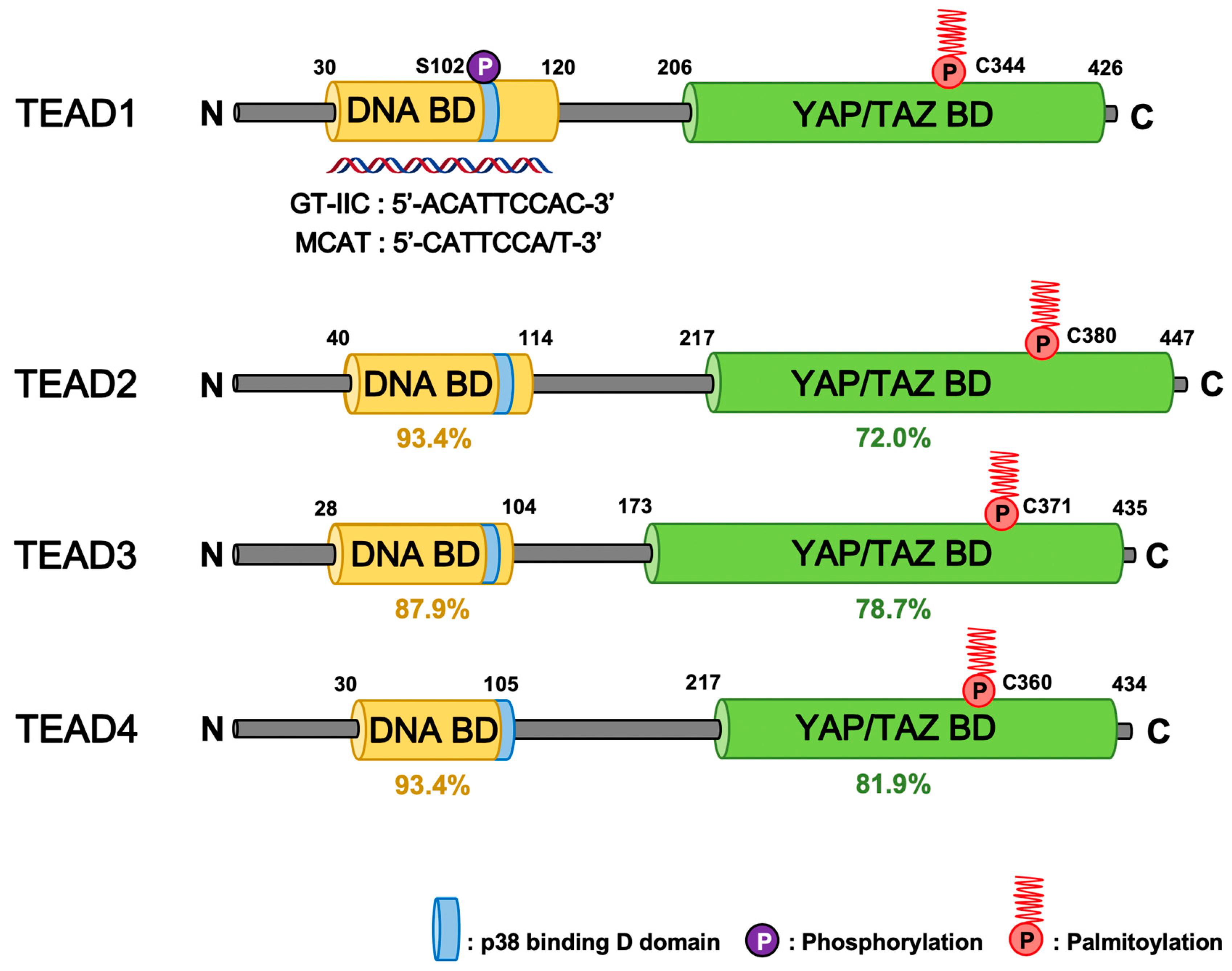 Cells | Free Full-Text | Regulation of TEAD Transcription Factors in