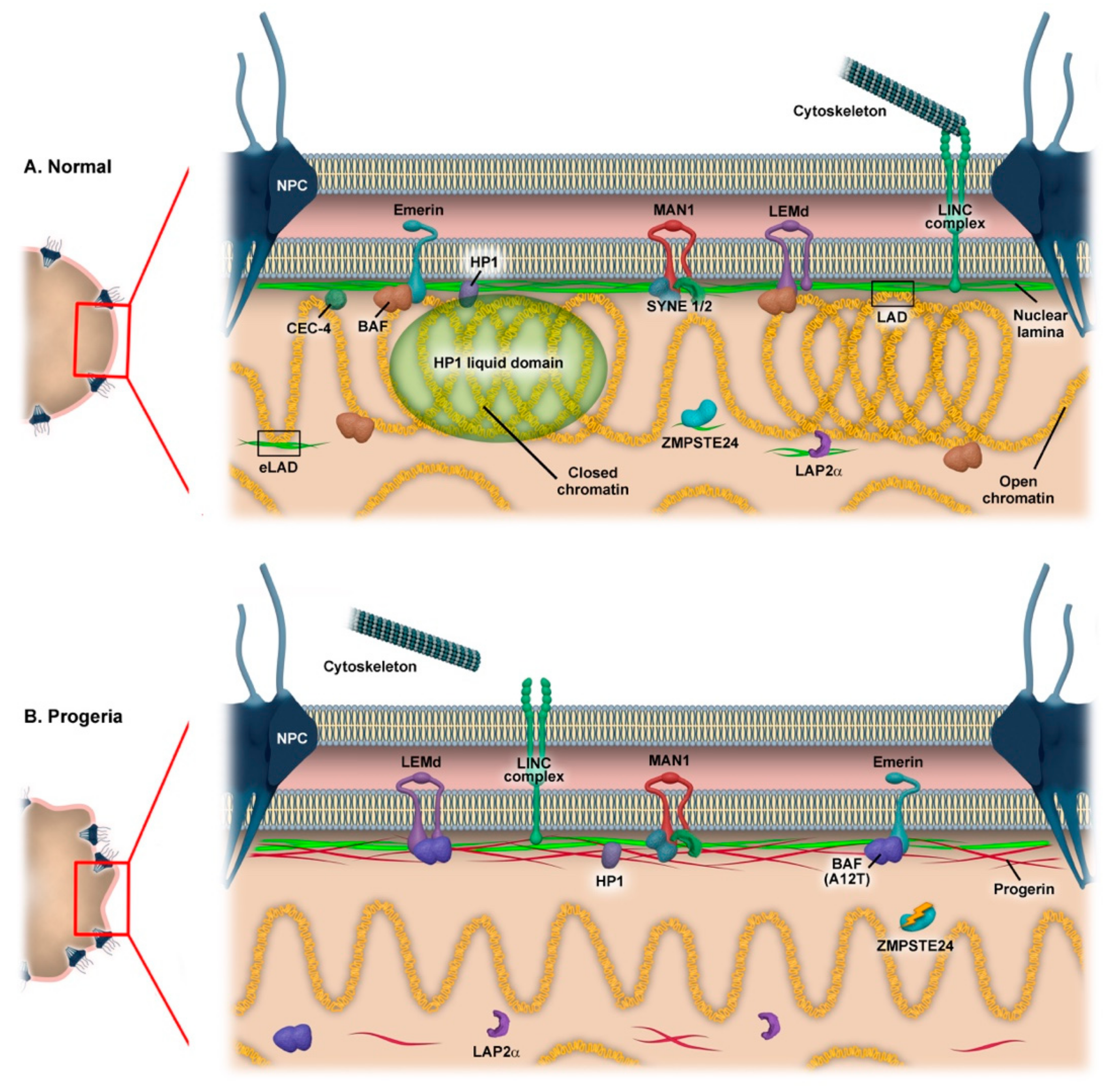 Cells | Free Full-Text | Nuclear Organization in Stress and