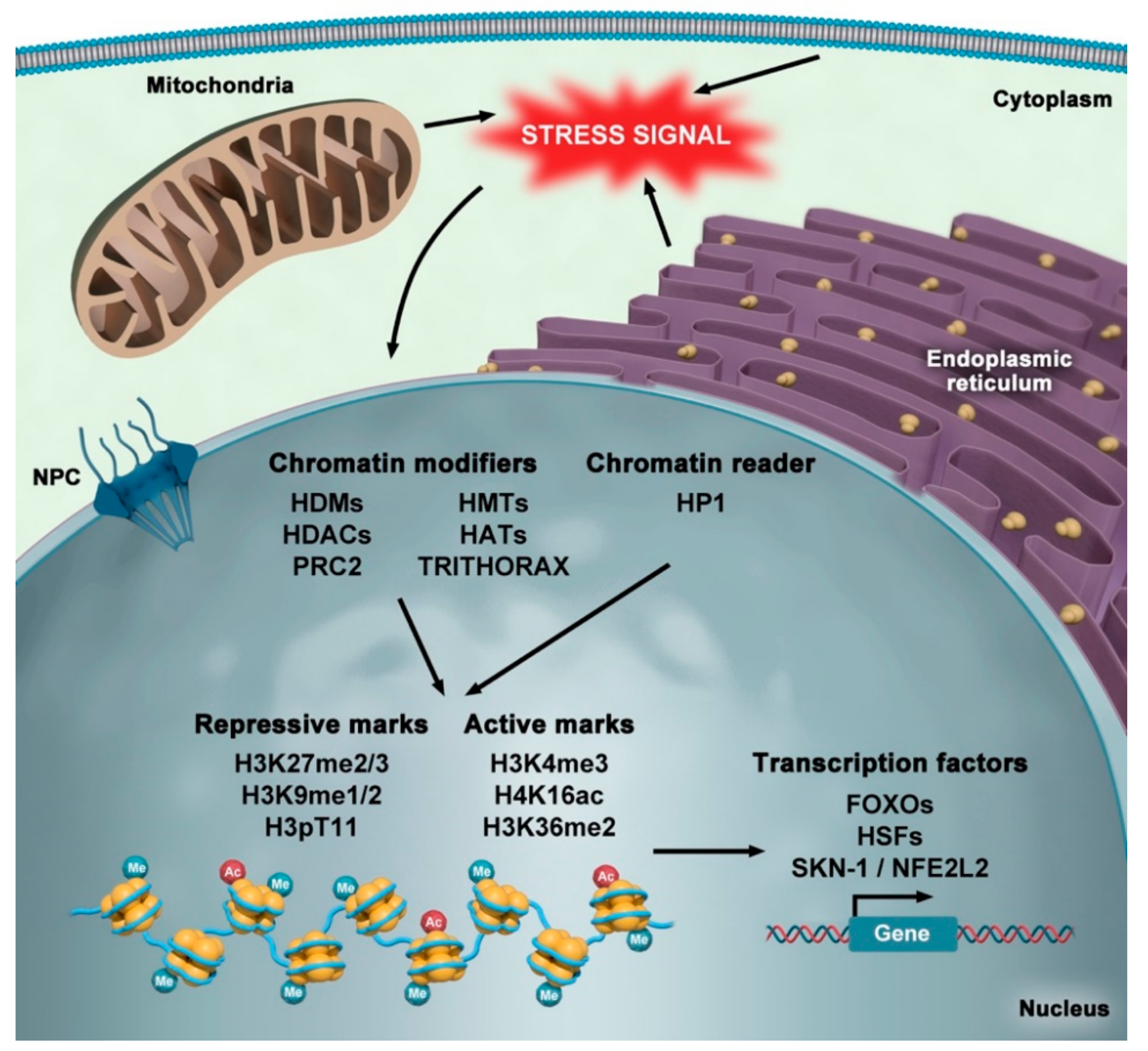 Cells | Free Full-Text | Nuclear Organization in Stress and Aging | HTML