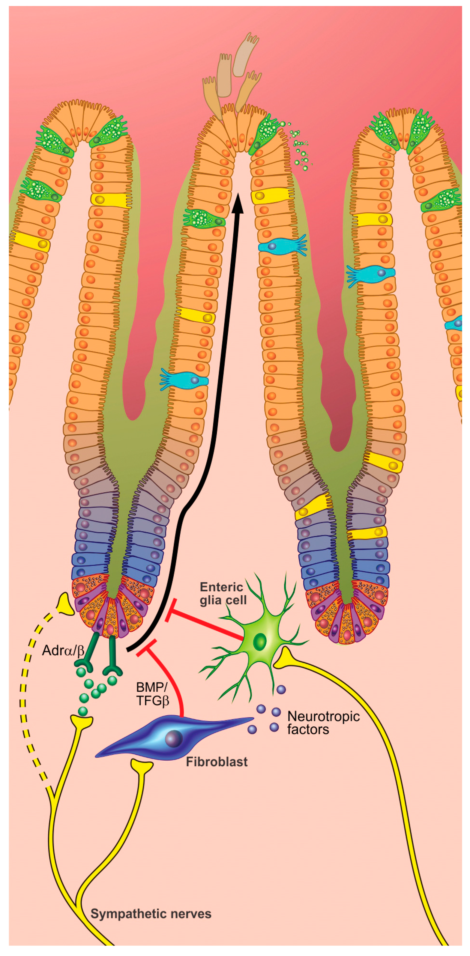 Cells | Free Full-Text | Neuroimmune Interactions in the Gut