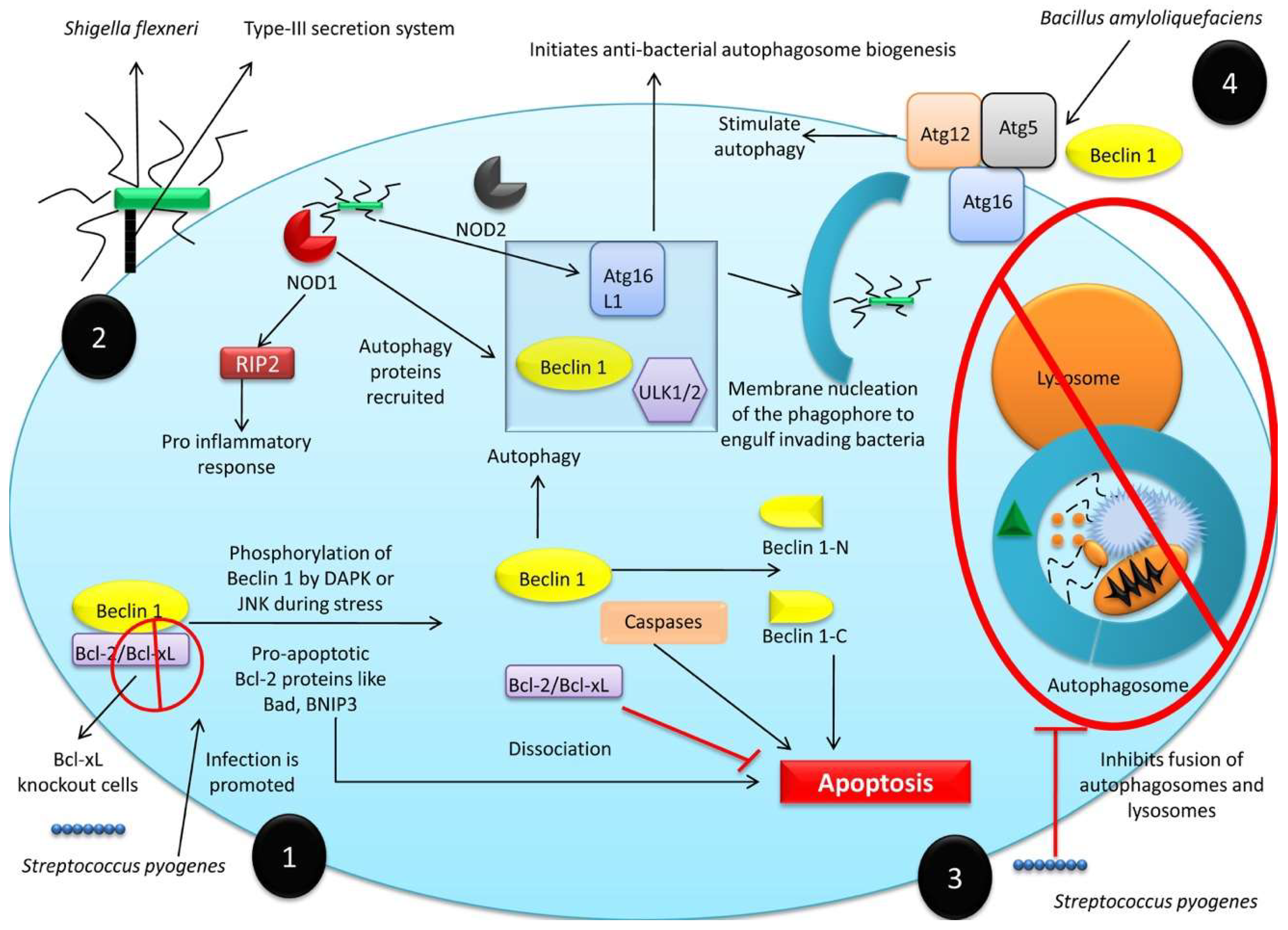 Cells | Free Full-Text | A Comprehensive Review of Autophagy