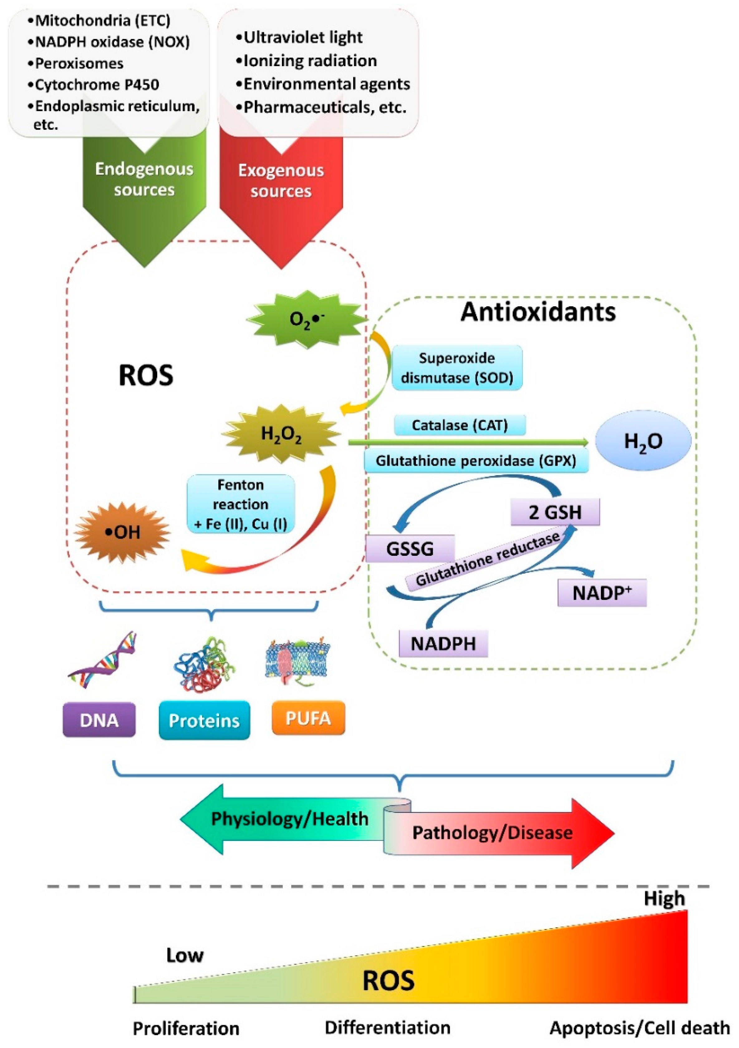 Ana Ros Videos cells   free full-text   short overview of ros as cell